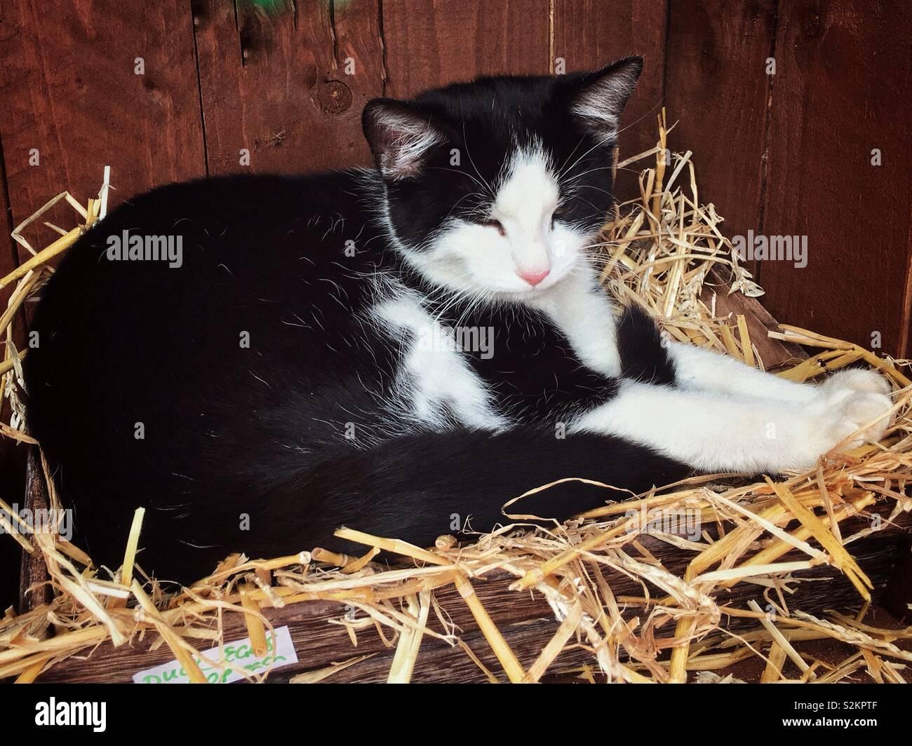 deux noir coqs dans blanc chatte