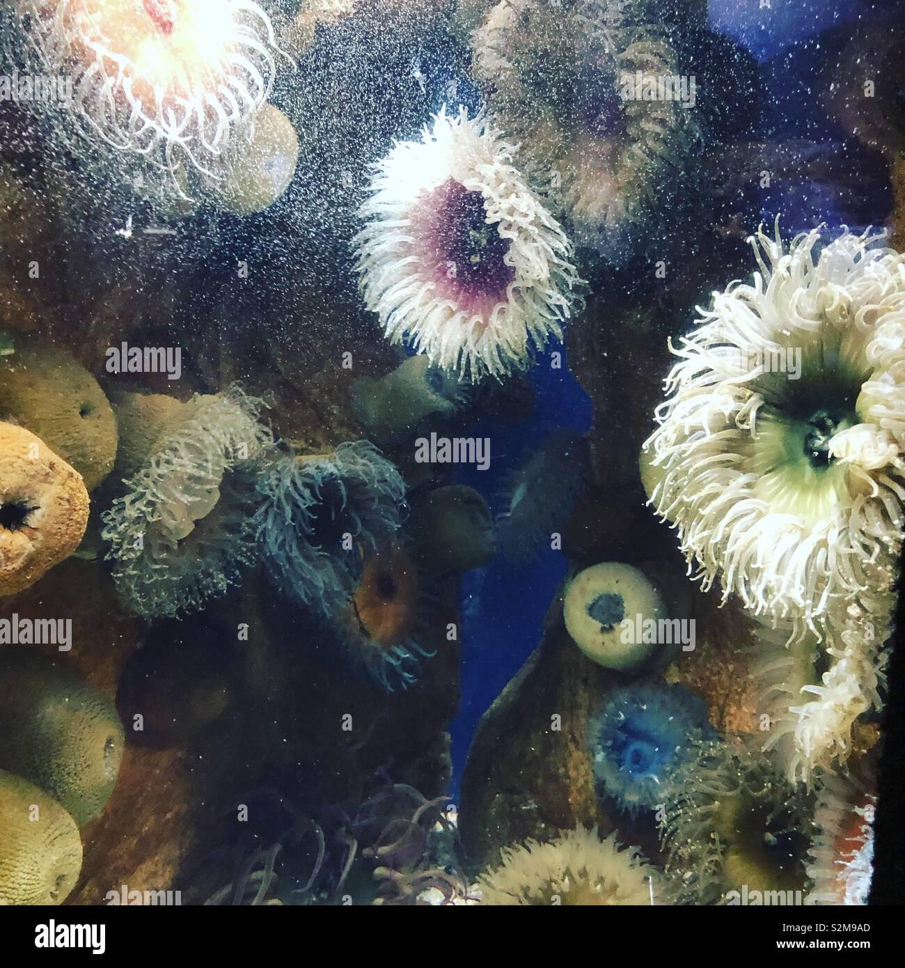 Les anémones, Two Oceans Aquarium, Cape Town Photo Stock