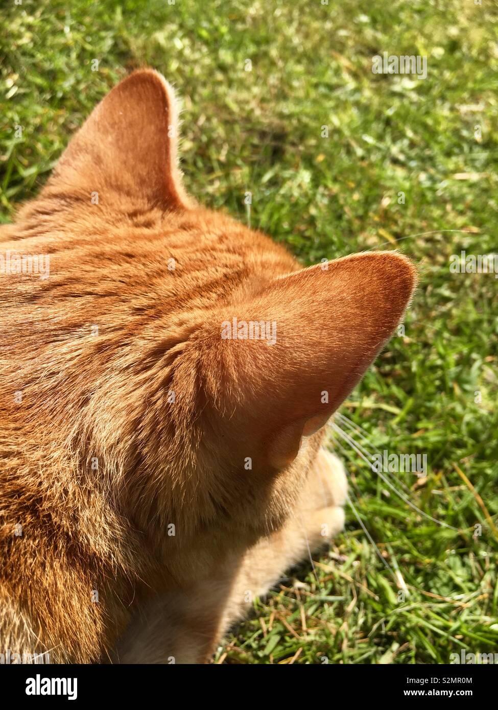 Ginger tabby cat isolé sur une pelouse Banque D'Images