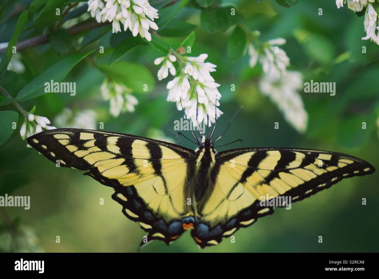 Les tiger swallowtail Banque D'Images