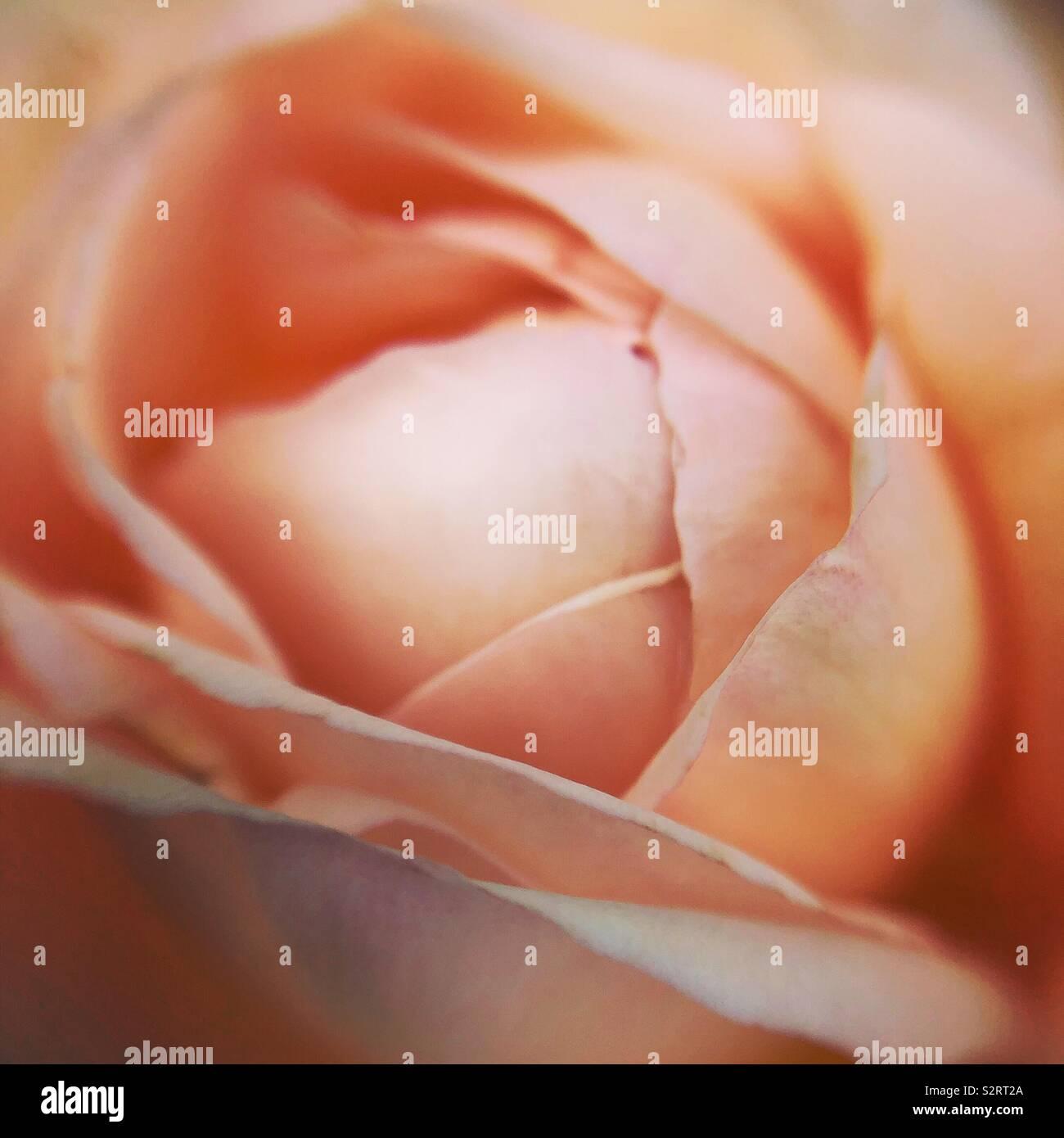 Rose pêche Banque D'Images