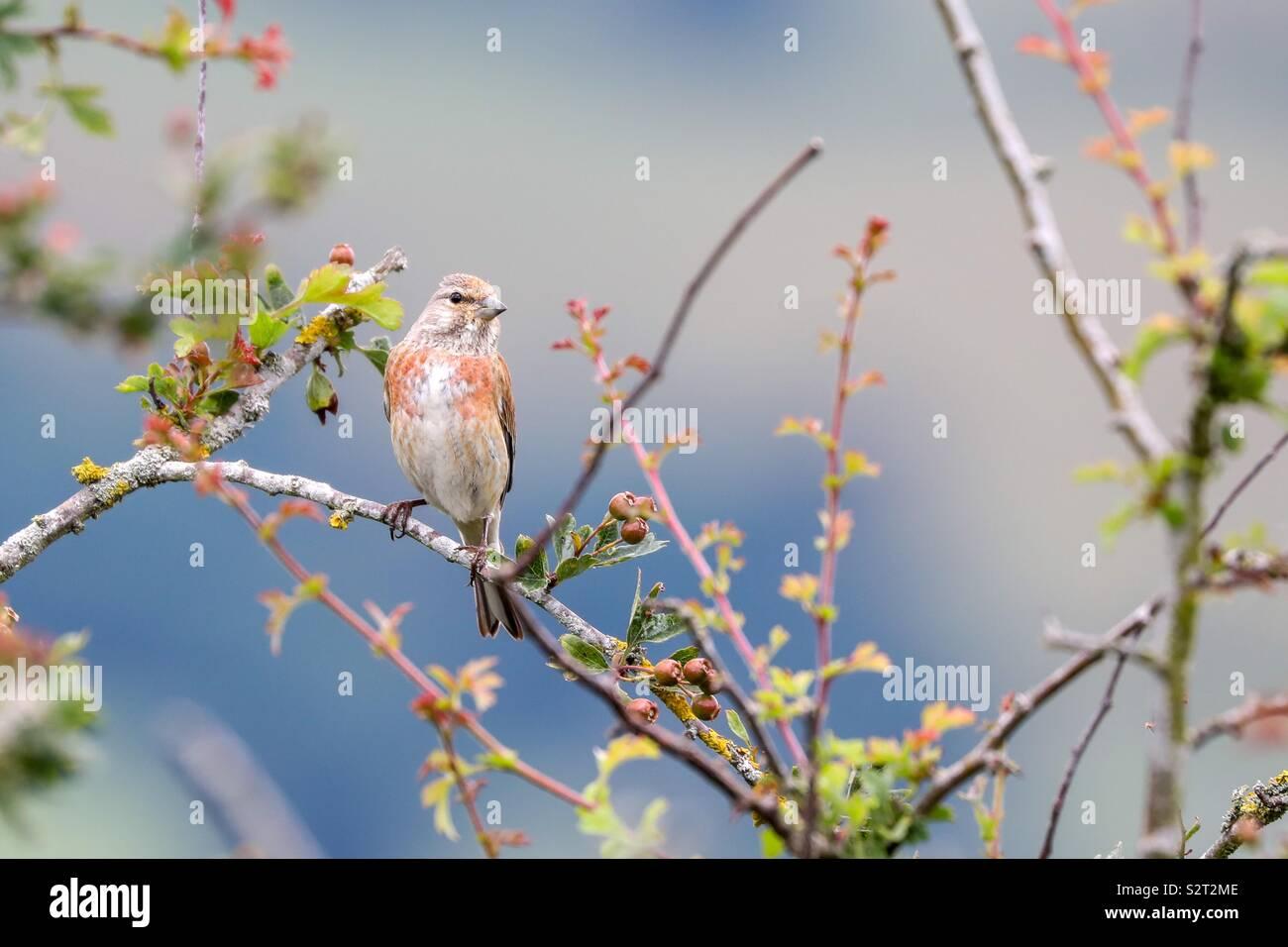 Linnet sur une branche Photo Stock