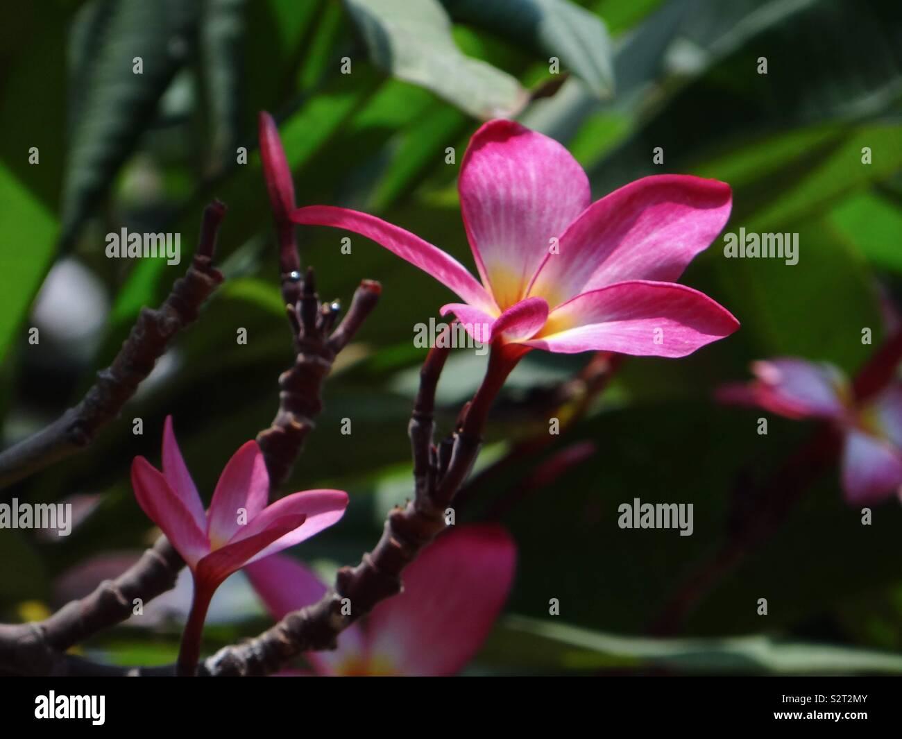 Fleurs de frangipanier rose Photo Stock