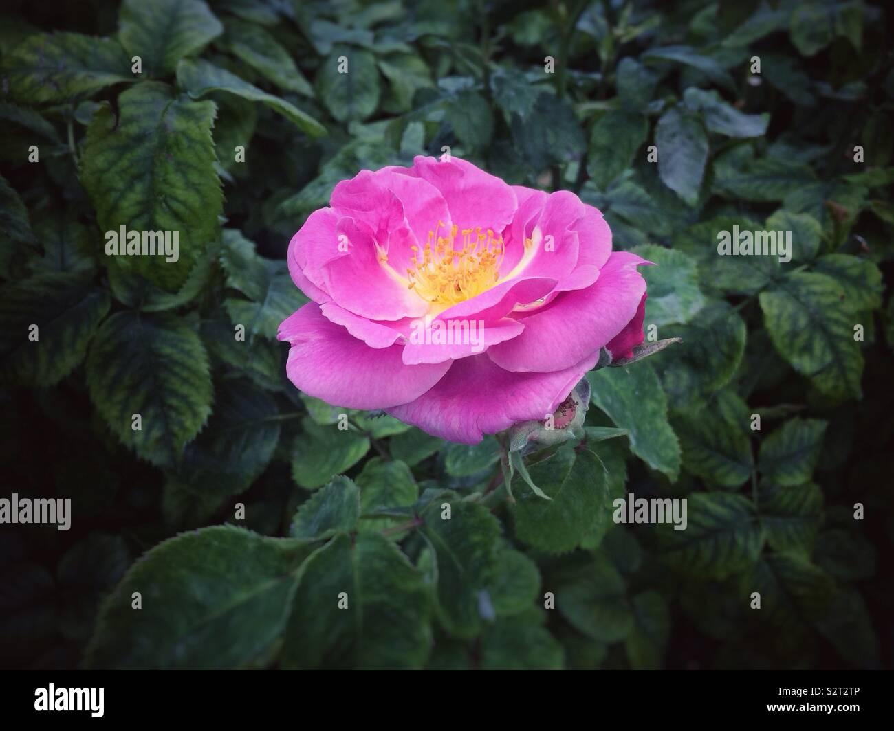 Une rose rose foncé Vert foncé contre Photo Stock