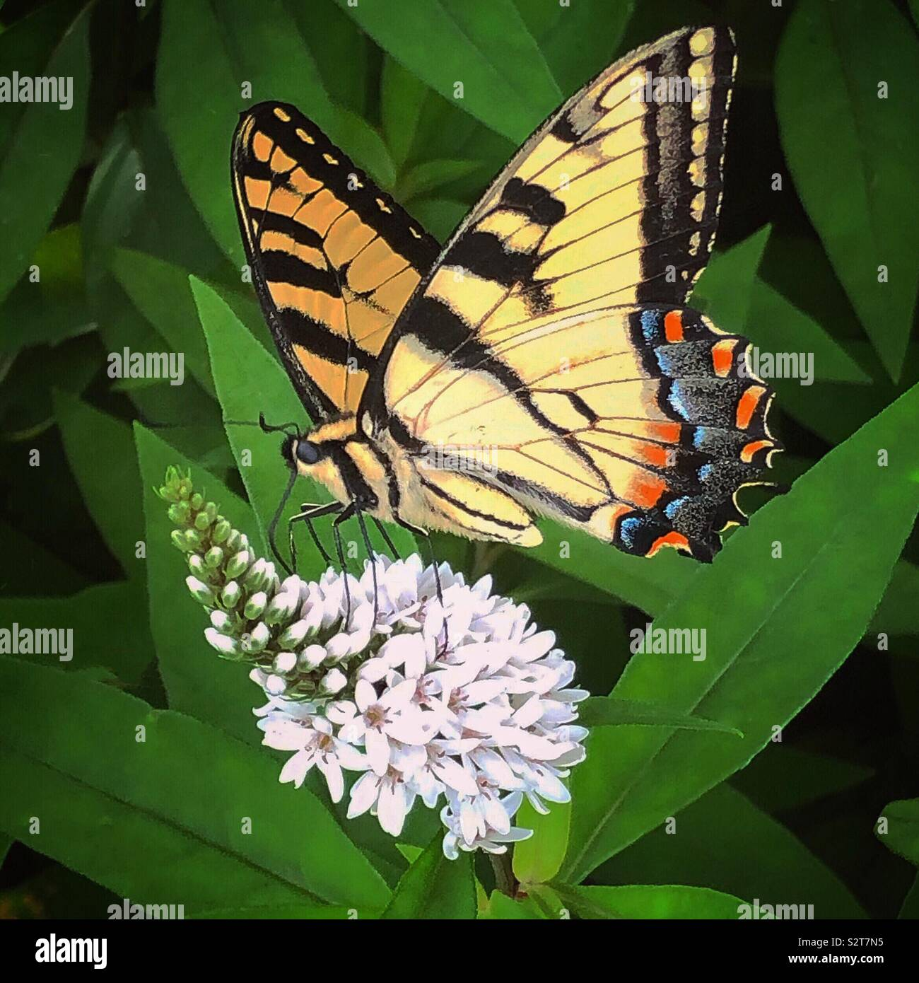 Easter tiger swallowtail Banque D'Images