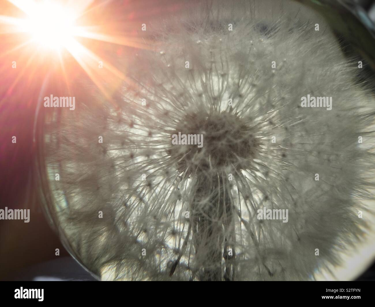 Presse papier en tête de pissenlit en face de Sun Photo Stock   Alamy
