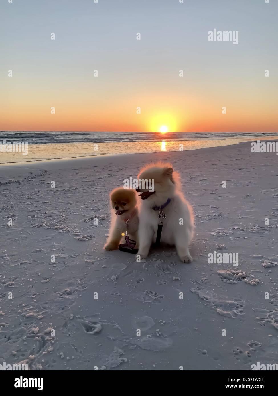 Coucher du soleil sur la plage avec deux chiens adorables Banque D'Images