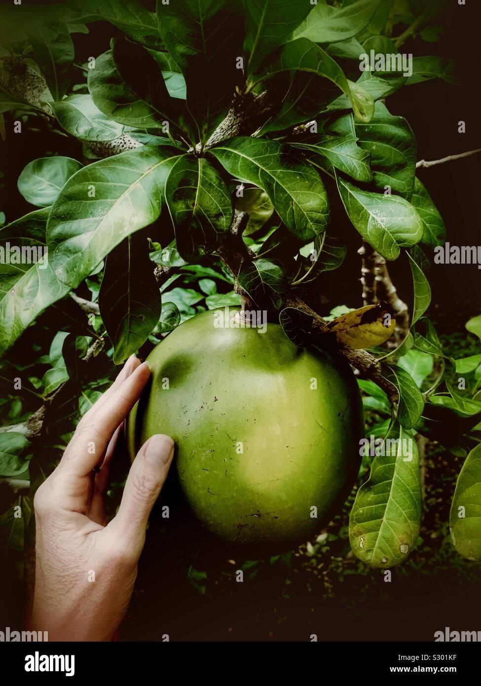 A woman's main touche l'extérieur du fruit poussant sur un arbre Jícara. C'est un arbre sacré des Mayas. La coquille dure du fruit sont souvent utilisés comme boire ou servir. Banque D'Images