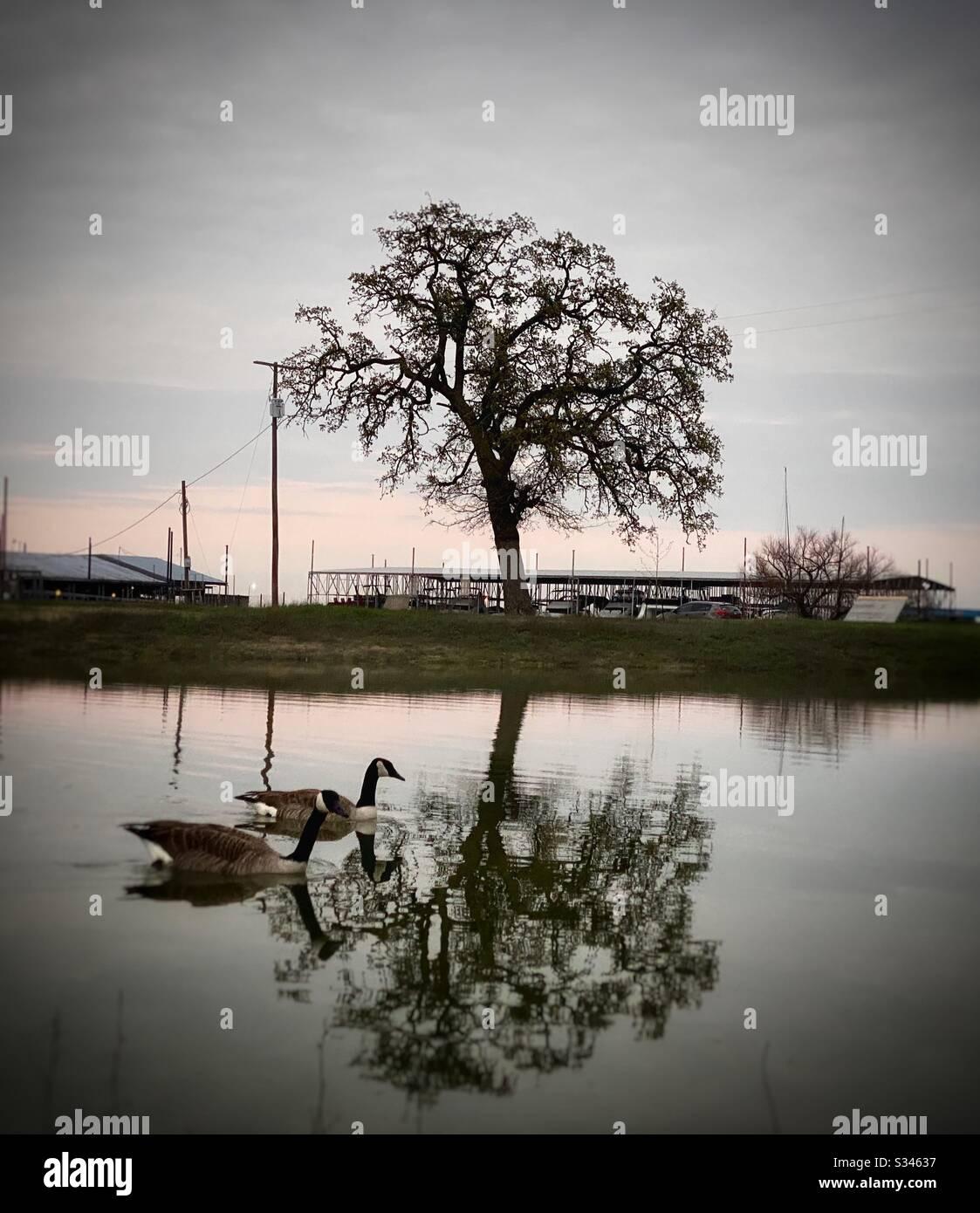 Deux belles oies qui nagent au bord du lac au coucher du soleil, parmi les superbes arbres qui reflètent dans l'eau à la marina locale. Banque D'Images