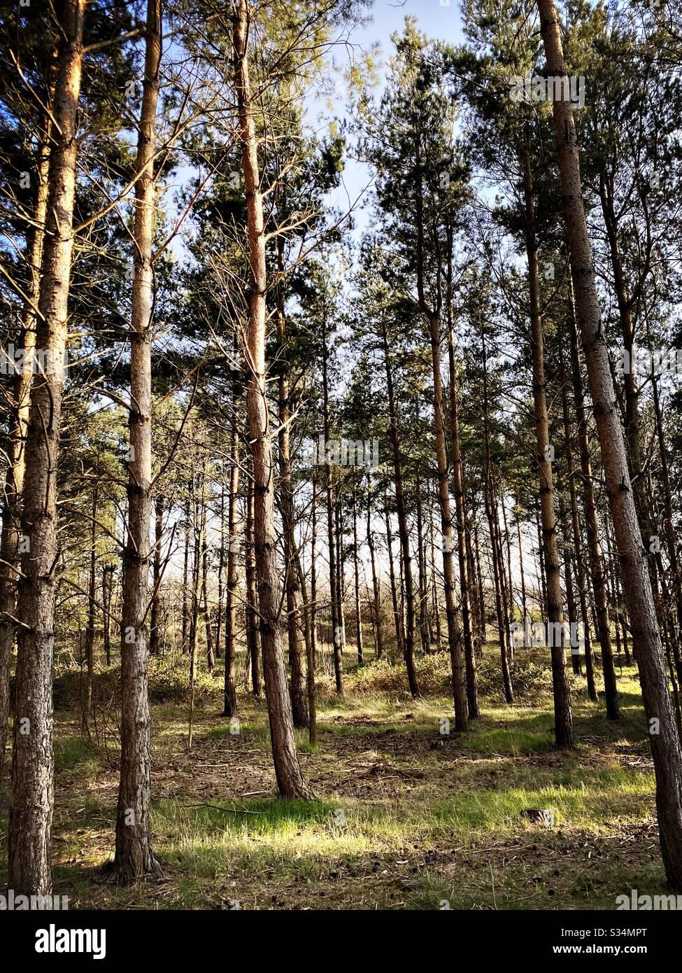De grands pins dans une forêt dense rurale. Scène naturelle de treescape dans un sentier boisé l'après-midi Banque D'Images