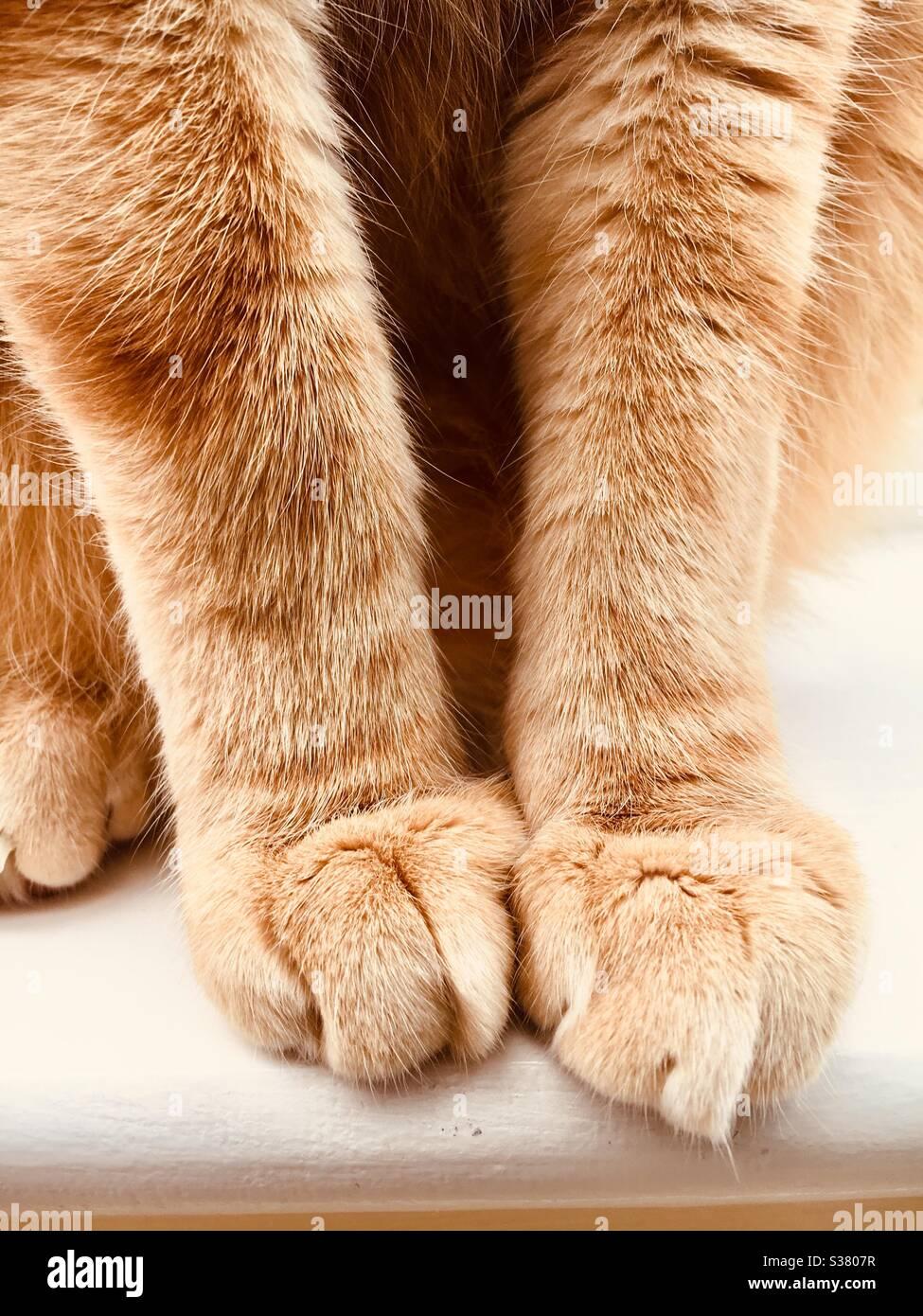 Gros plan d'un chat de tabby au gingembre avec pattes avant Banque D'Images