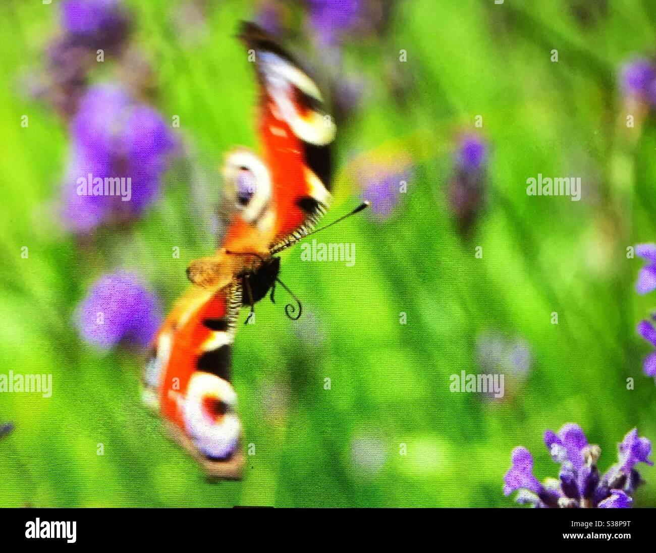 Papillon coloré en action pendant le vol à Räfsnäs, Gräddö, Rådmansö, archipel de Stockholm en Suède. Herbe verte et fleurs hors foyer dans le sol arrière. Banque D'Images