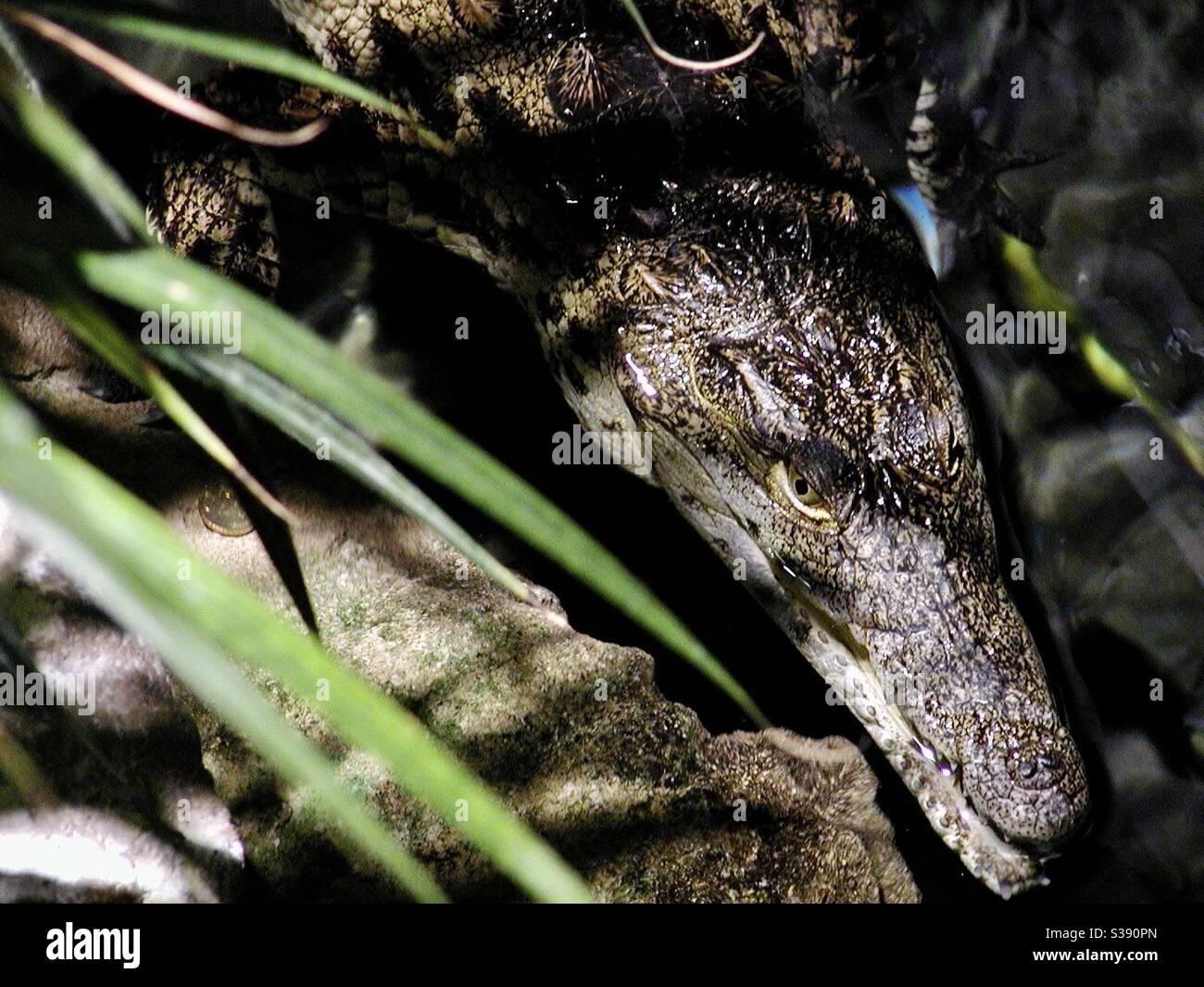 Le crocodile est un grand reptile semi-aquatique qui vit dans les tropiques en Afrique, en Asie, en Amérique et en Australie. Banque D'Images