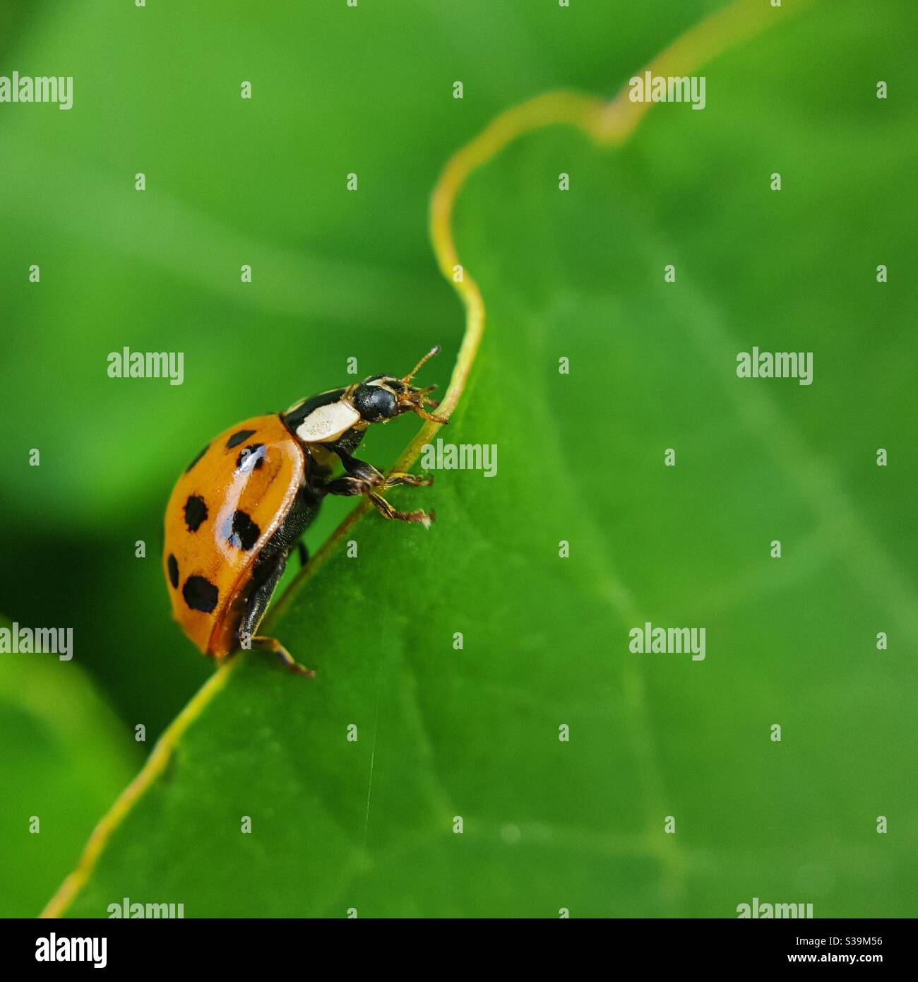 Arlequin Ladybird Climbing Leaf Banque D'Images