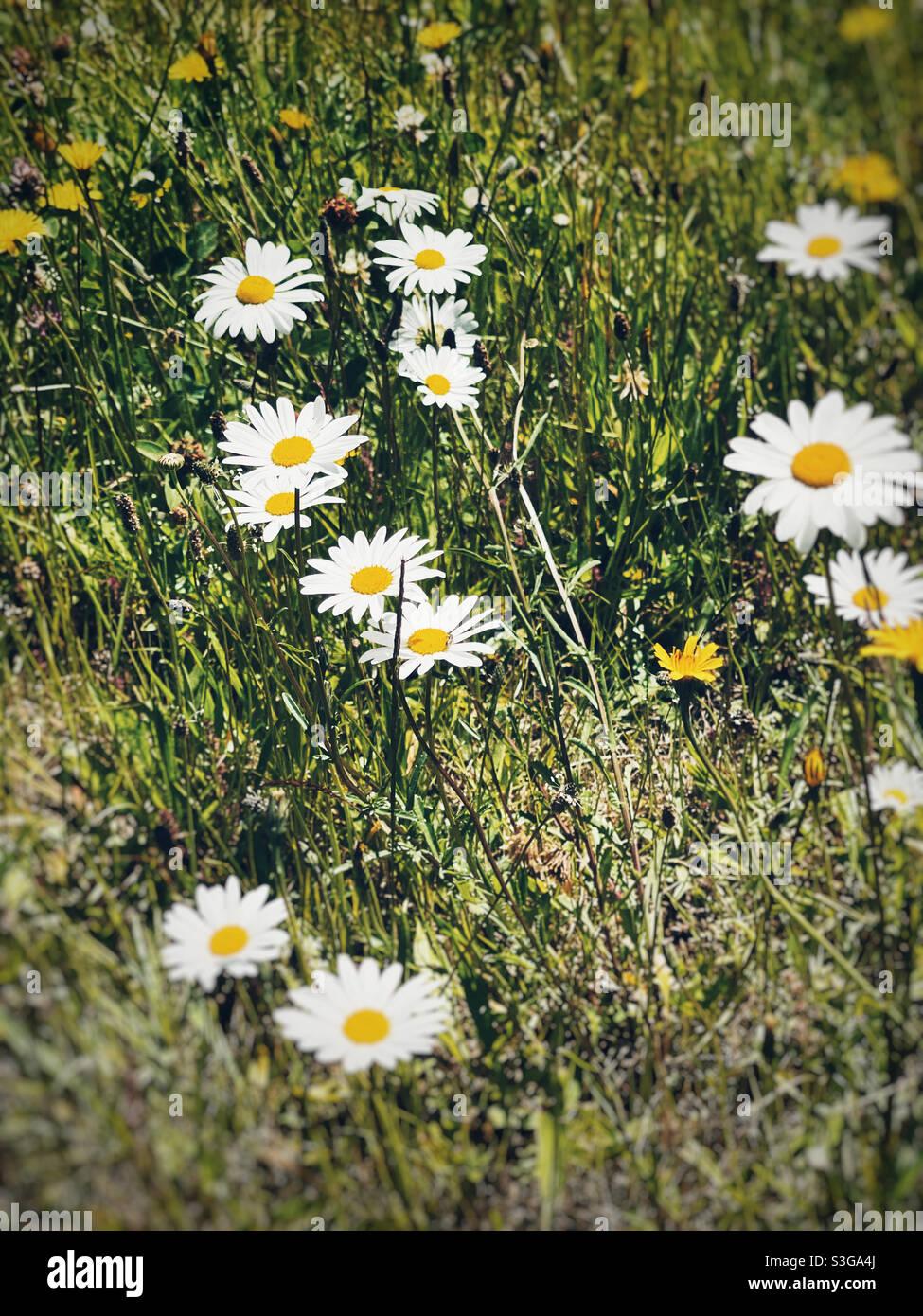 Pâquerette simple, la fleur la plus heureuse sur terre Banque D'Images