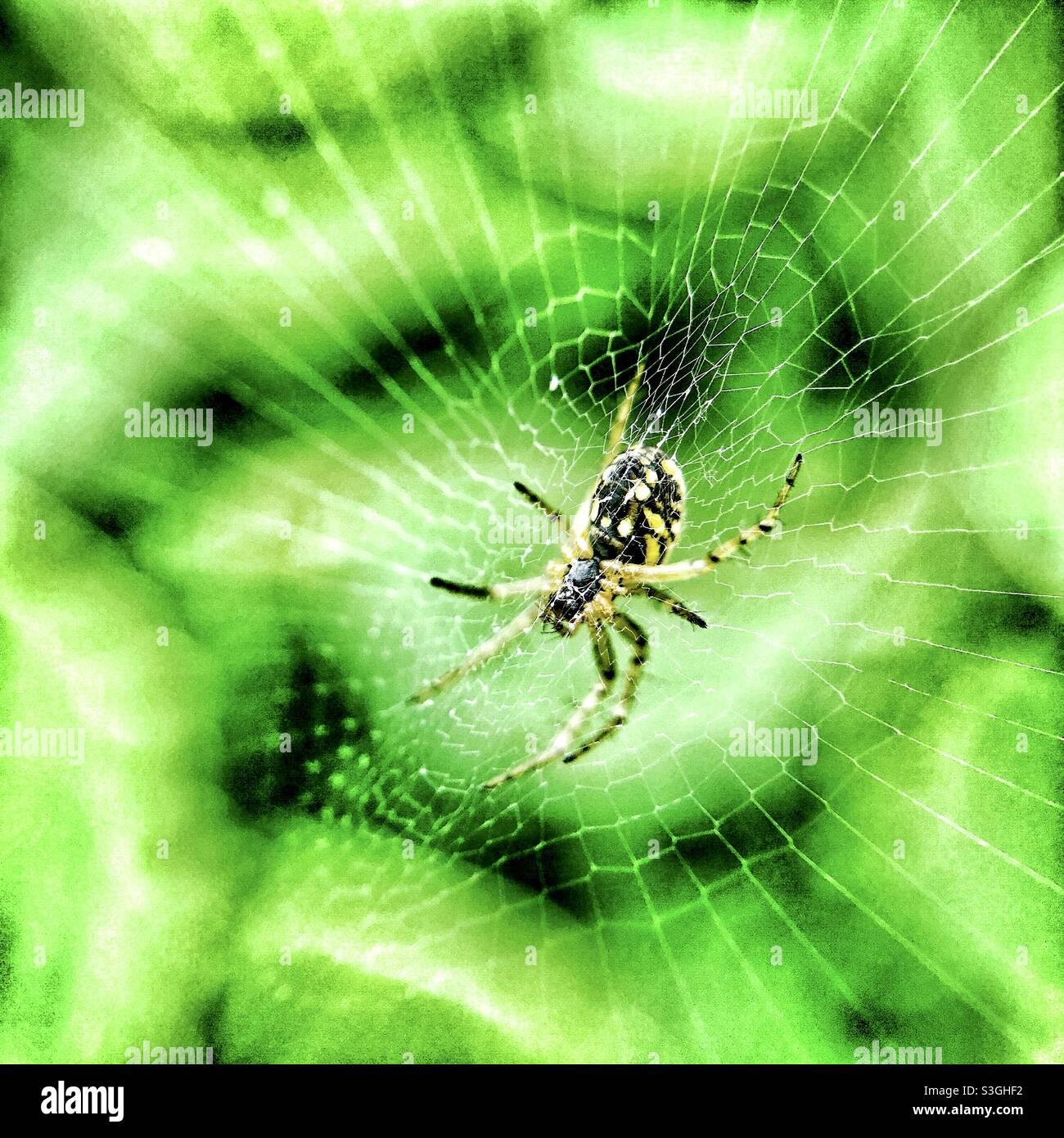 Araignée de jardin commune britannique sur son web. Banque D'Images