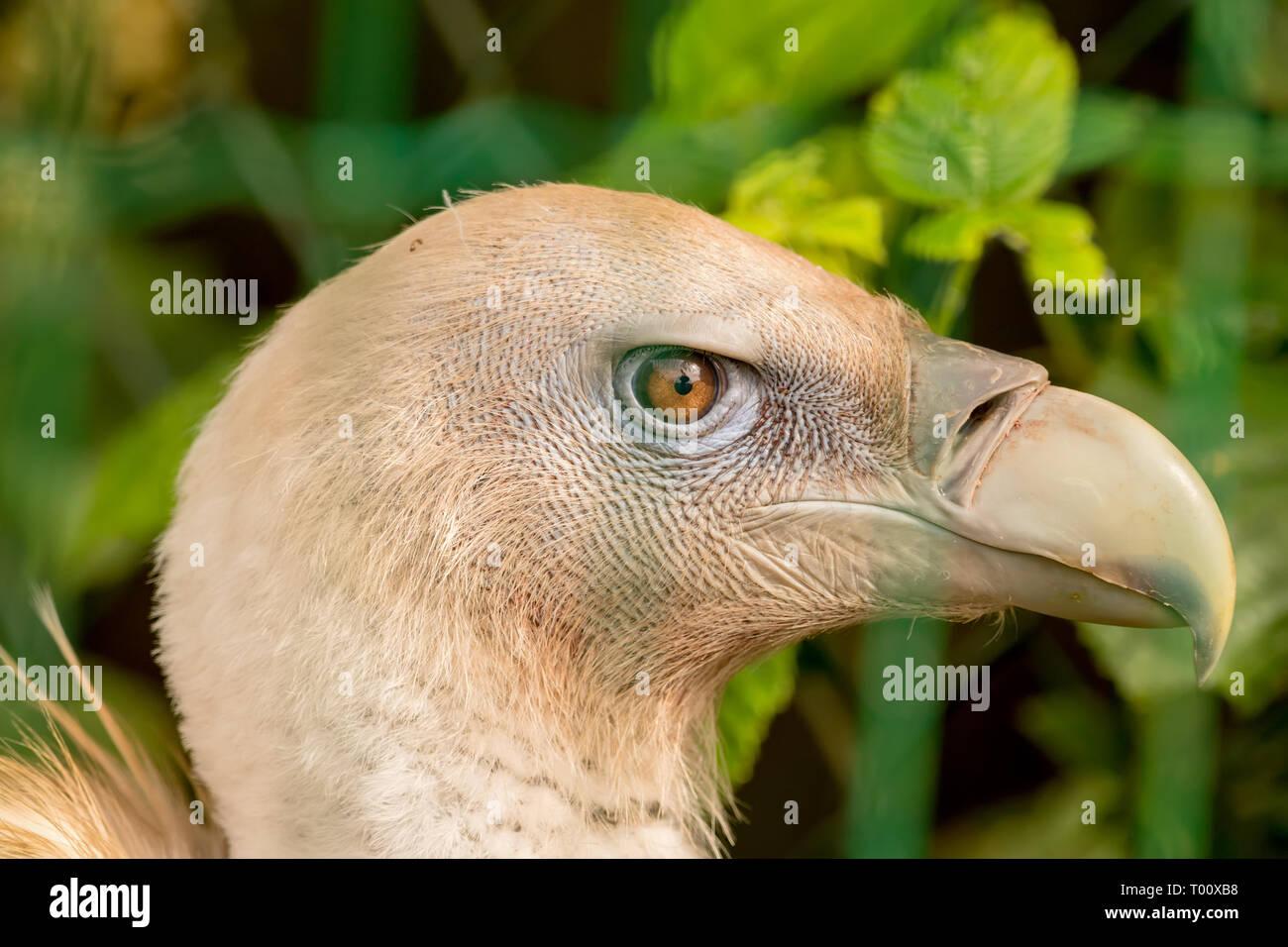 Comme d'autres vautours, c'est un charognard, il se nourrit essentiellement de carcasses d'animaux morts qu'il trouve en planeur sur les zones ouvertes, souvent en troupeau en mouvement Banque D'Images