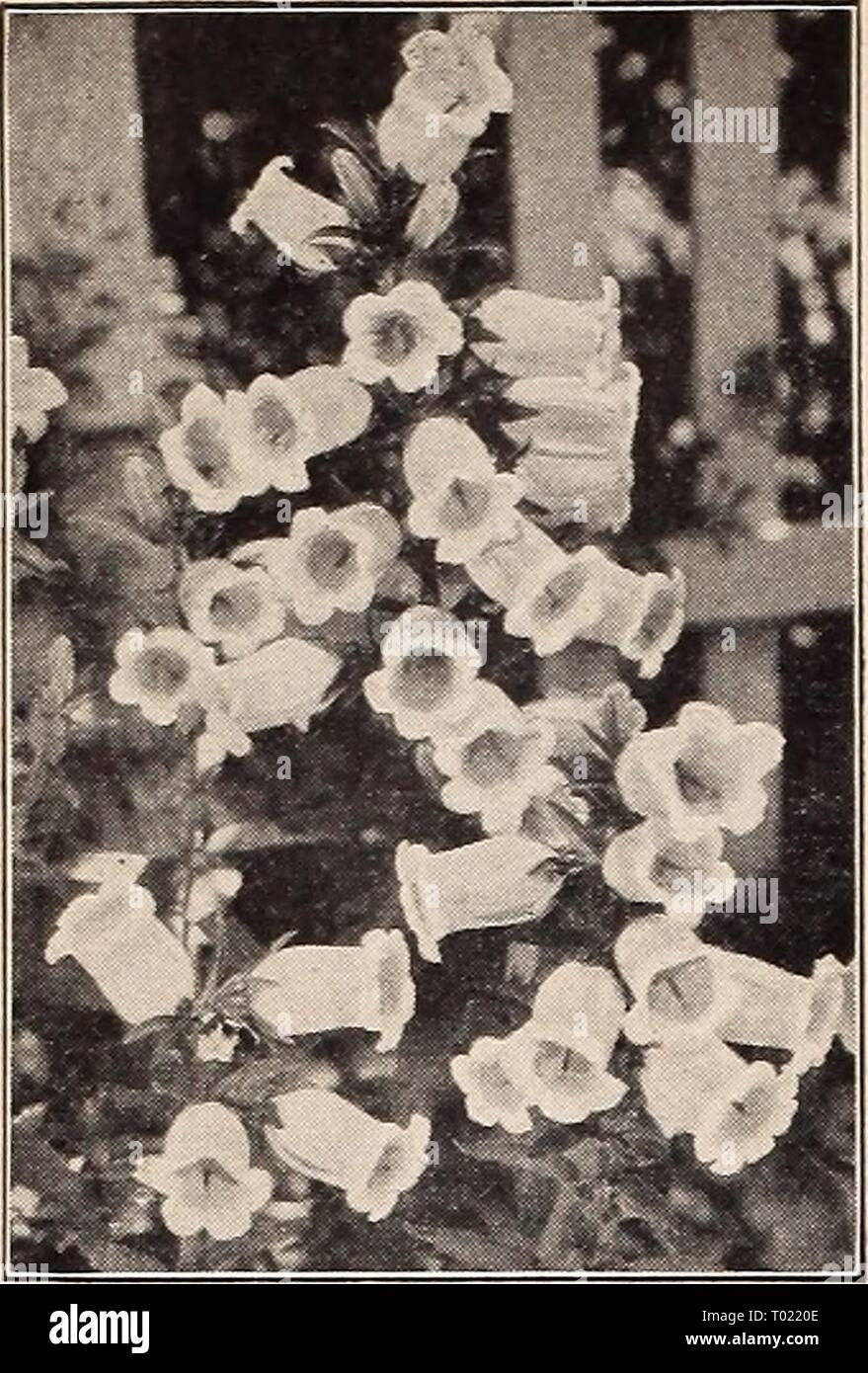 Canterbury Cloches Mélangées «Calycanthema» 500 Graines