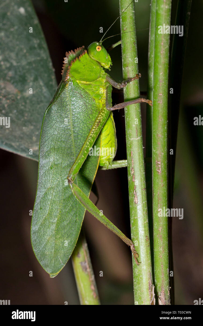 Katydid du Costa Rica Rainforest jungle. Drake Bay Péninsule d'Osa. Photo Stock