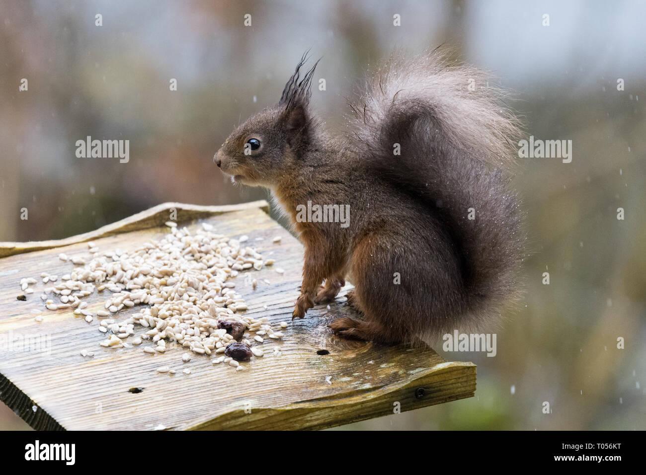 - L'écureuil roux Sciurus vulgaris - noir-rouge ou noir, coloration mue - Écosse, Royaume-Uni Banque D'Images