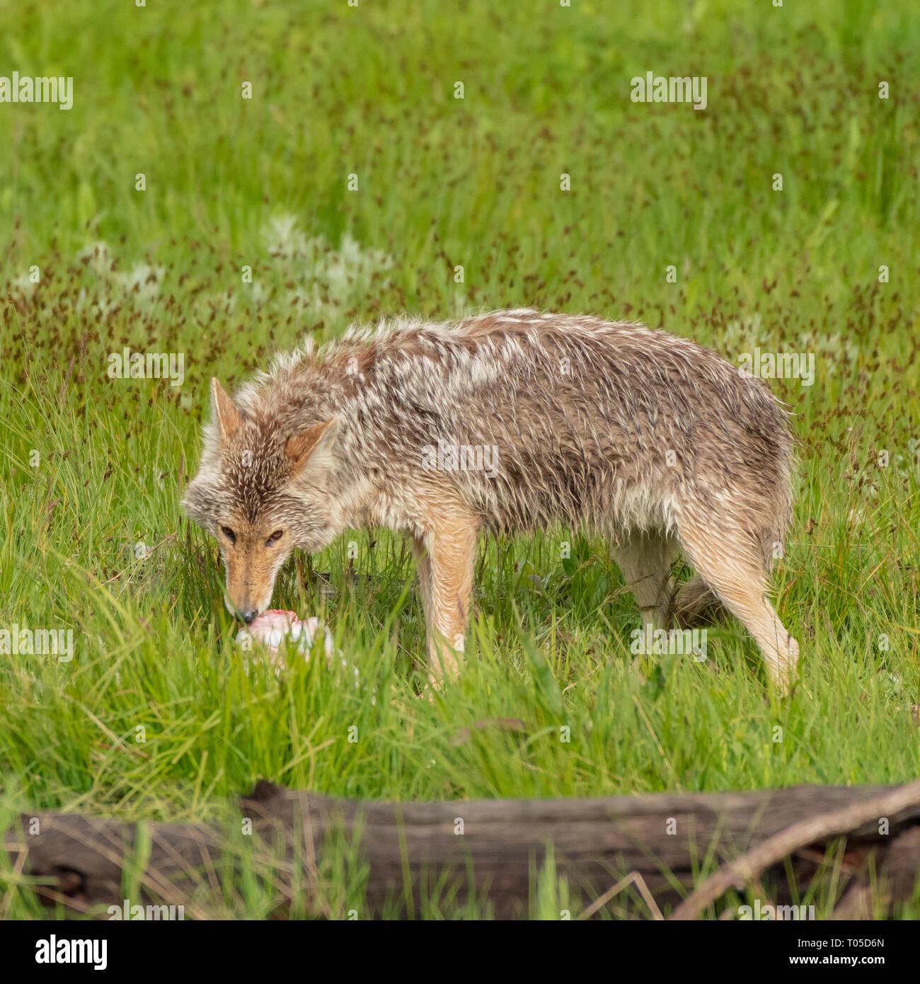Le coyote se nourrit de carcasses de petits élans dans domaine