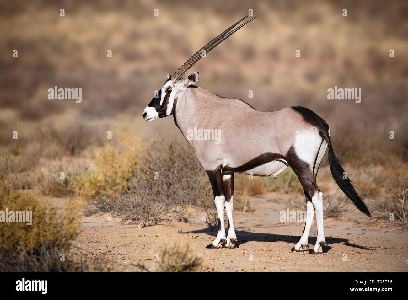 Portrait dans le parc Kgalagadi Gemsbok Park Afrique du Sud, Oryx gazella Banque D'Images