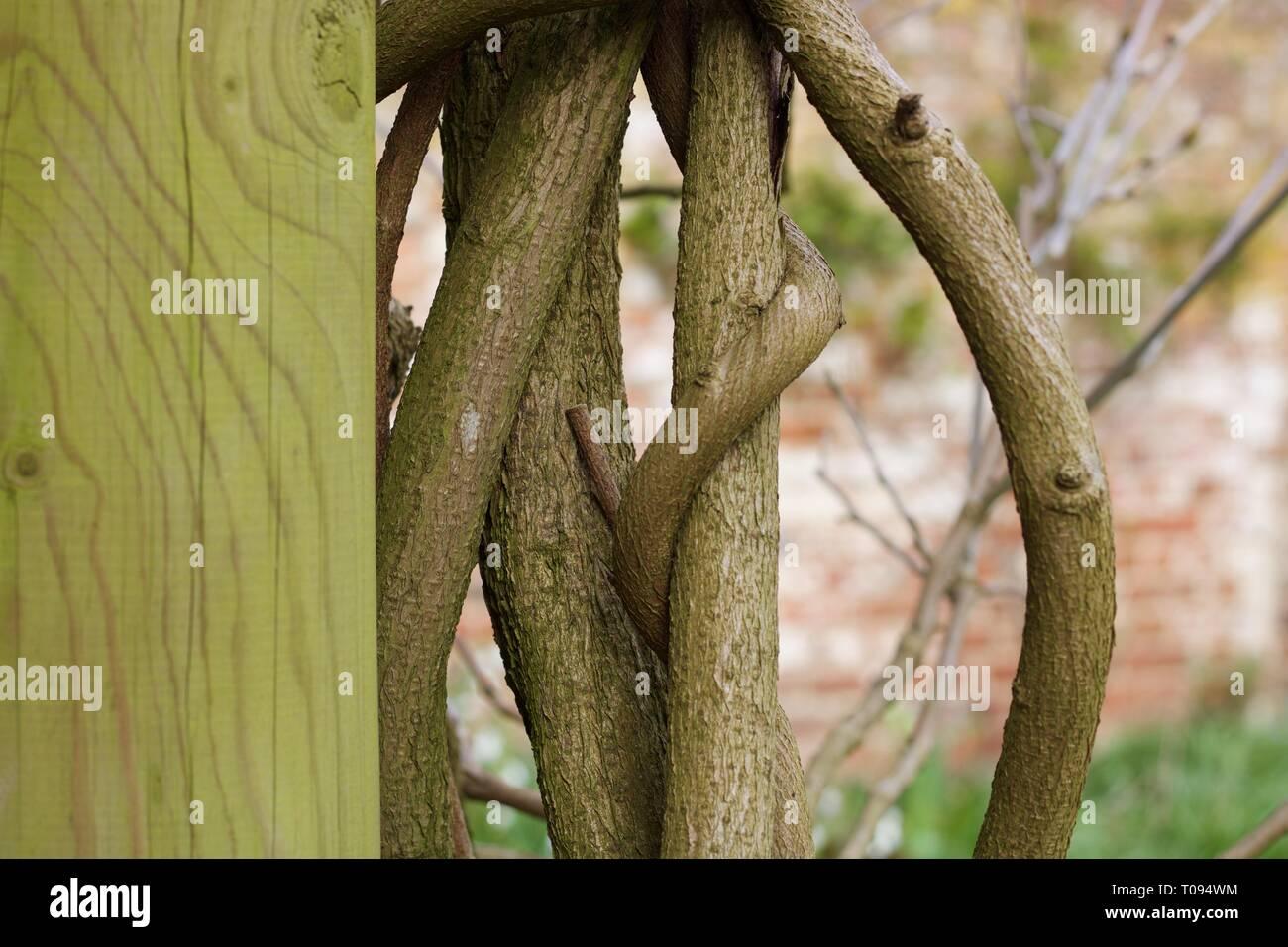 Pilier vert moussu avec twisted branches grimpeur à l'autre Banque D'Images