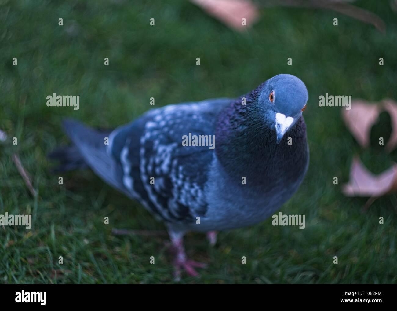 London, Royaume-Uni: drôle, curieux pigeon dans le parc de St James. Photo Stock