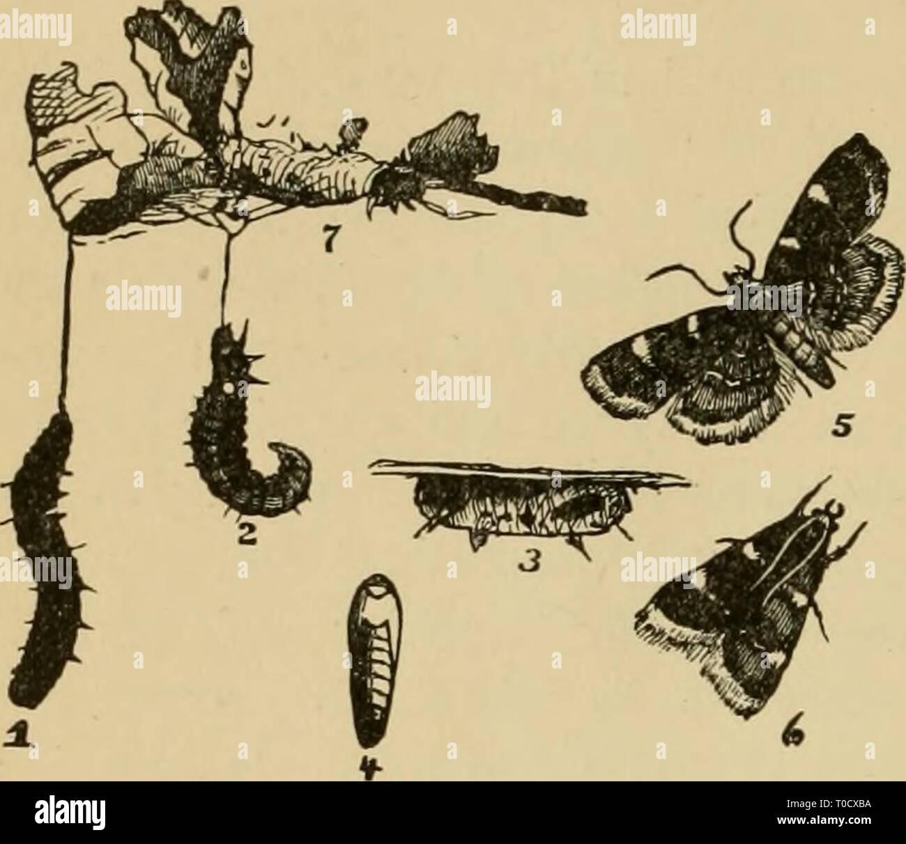 """Entomologie économique pour l'agriculteur entomologie économique pour l'agriculteur et le producteur de fruits, et pour l'utiliser comme un texte-livre dans les écoles et les collèges agricoles; economicentomol Année: 1906 smit00312 UNE ENTOMOLOGIE ÉCONOMIQUE. de pénétrer les réseaux et d'être en contact direct avec les larves. Parfois, les insectes de cette série ne sont pas limités à la végétation verte, comme dans le cas de """"l'foin de trèfle, ver' Asopia costalis, qui attaque le produit sec sec ou partiellement, sangle et causant plus ou Fig. 356. moins de blessures. Près de son allié, Pyralis farinalis, peuvent être trouvés dans des granges ou des bacs où le grain Banque D'Images"""