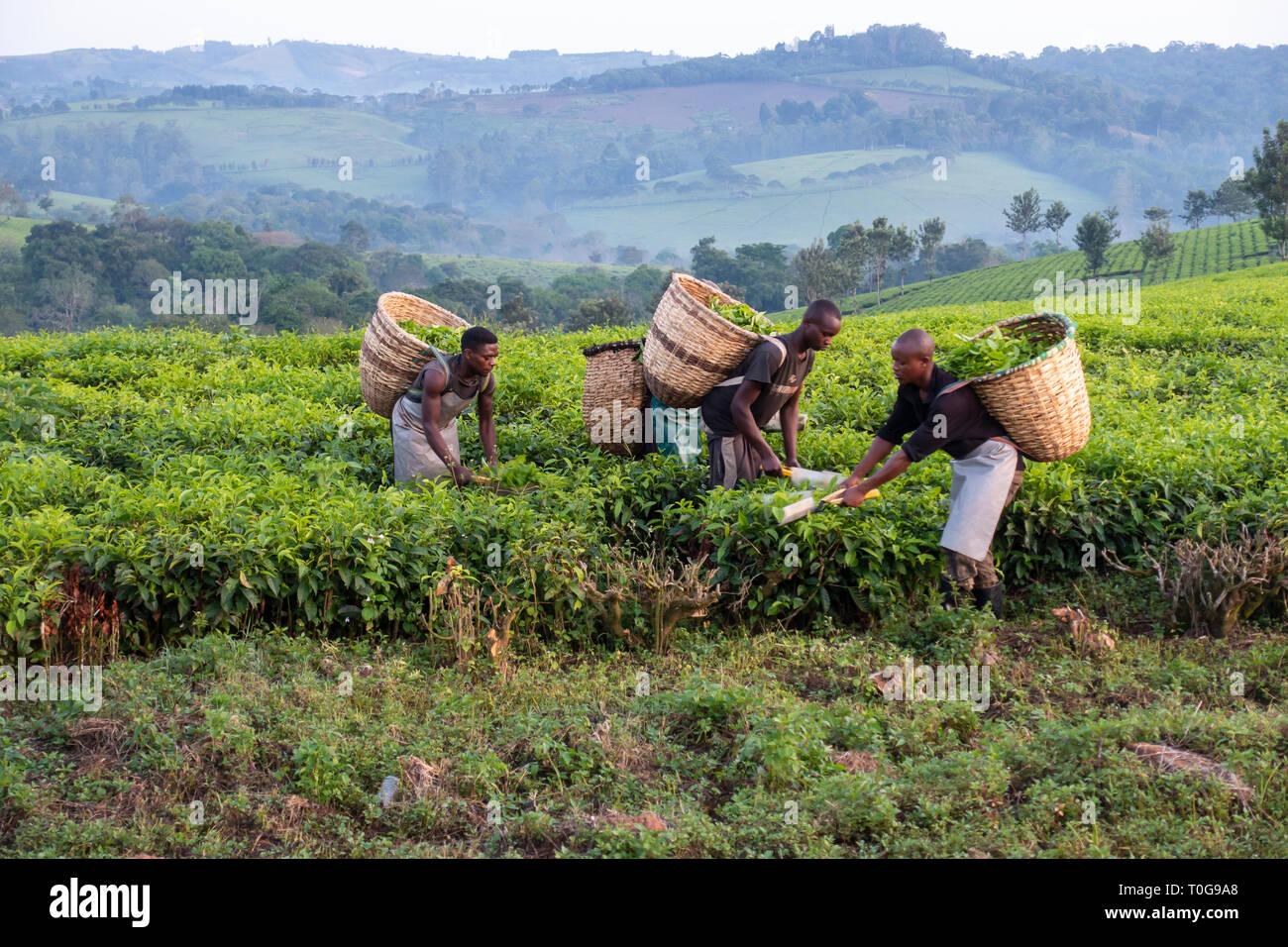 Les cueilleurs de thé travaillant dans la plantation de thé près de la forêt de Kibale National Park, au sud-ouest de l'Ouganda, l'Afrique de l'Est Photo Stock