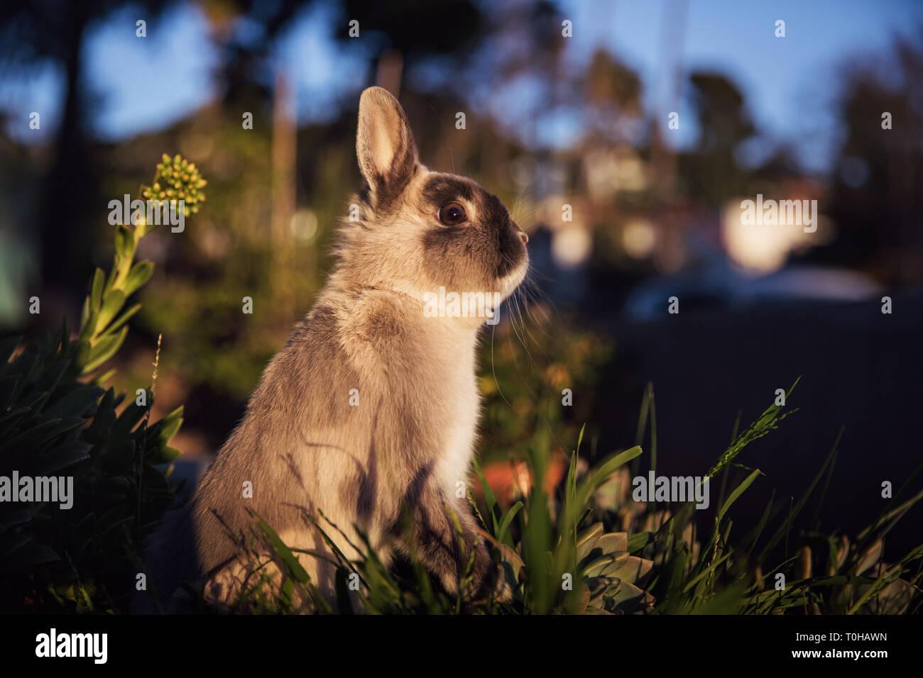 Un lapin nain gris et brun debout sur ses pattes dans un jardin, à la sculpturales. Banque D'Images