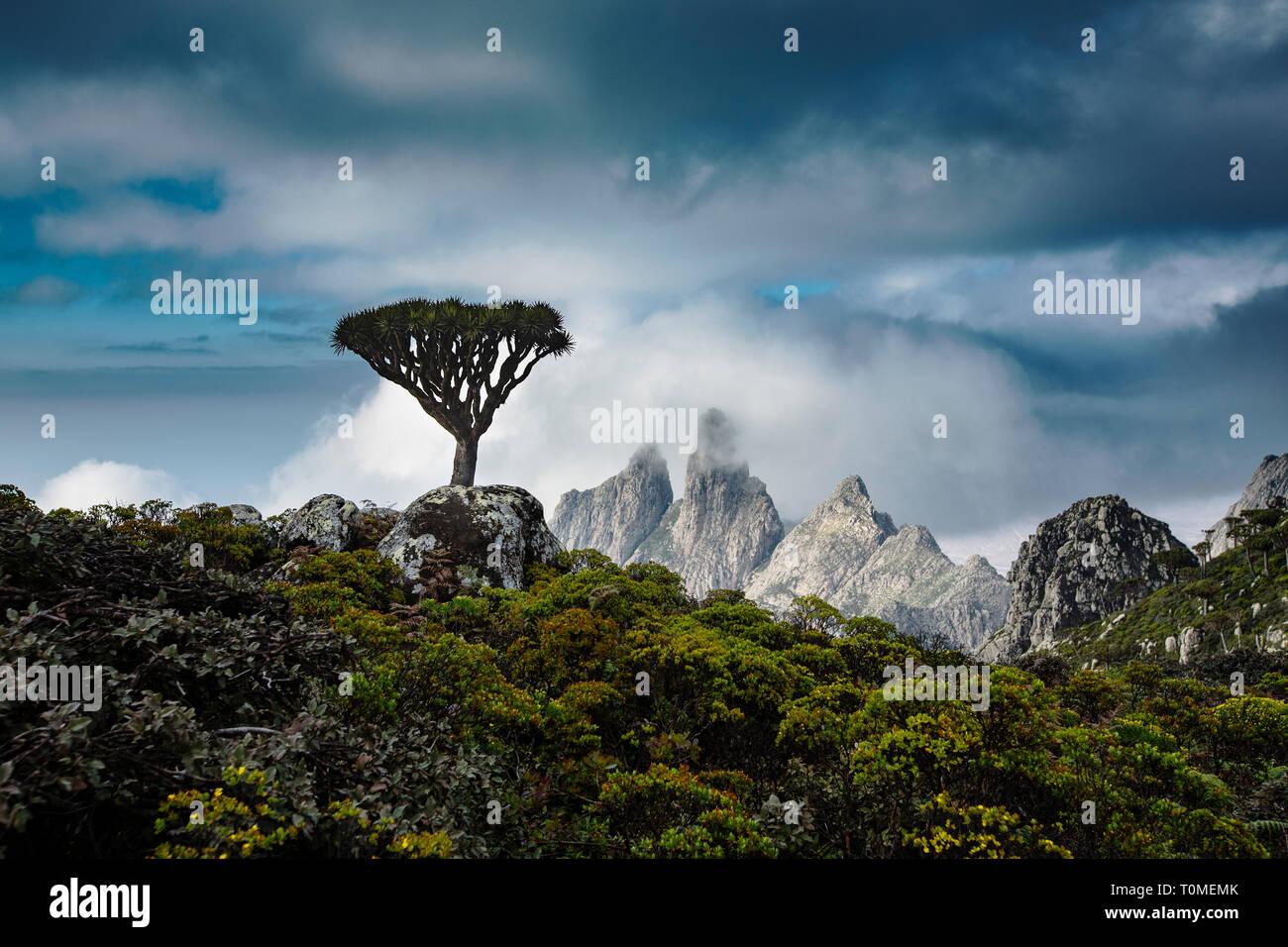 Socotra arbre dragon ou dragon blood tree, Dracaena cinnabari, Hajhir montagnes, l'île de Socotra, au Yémen Banque D'Images