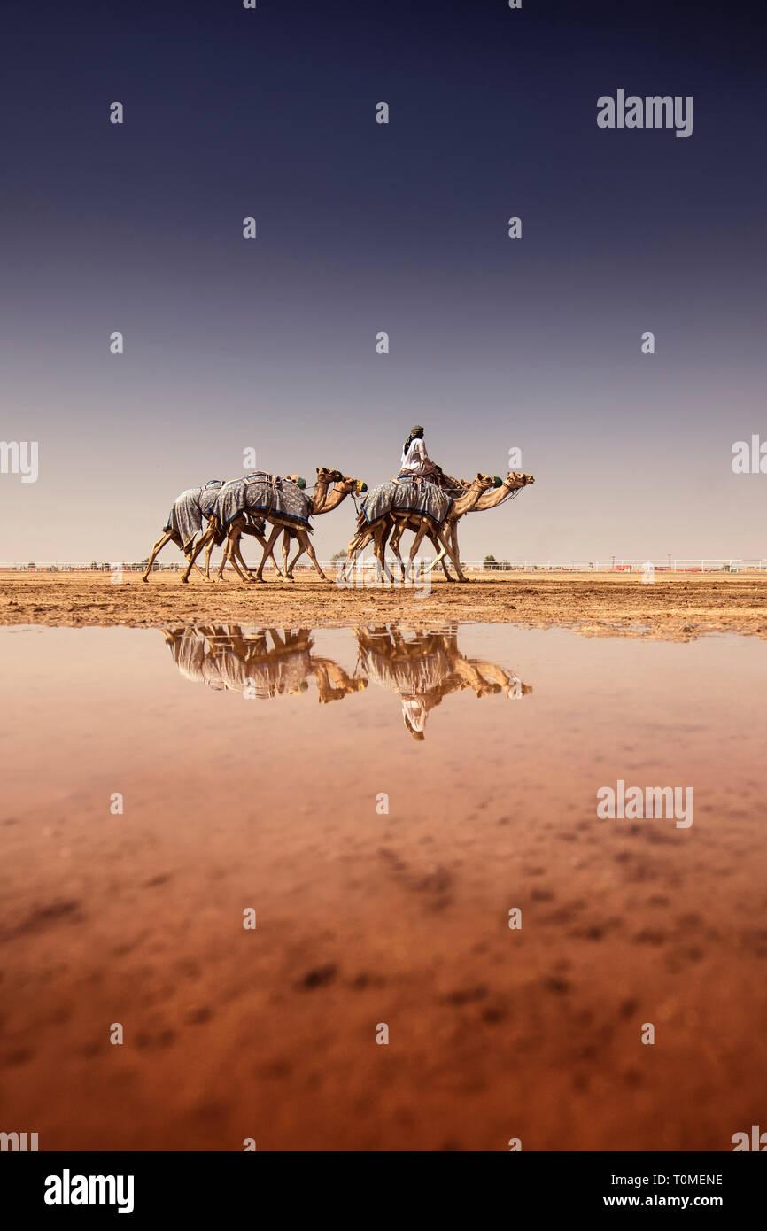 Les chameaux reflète dans flaque après un jour de pluie, l'Arabie Saoudite Photo Stock