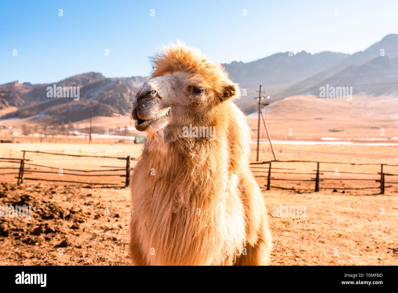 Camel en Suisse, la Mongolie Mongolie Banque D'Images