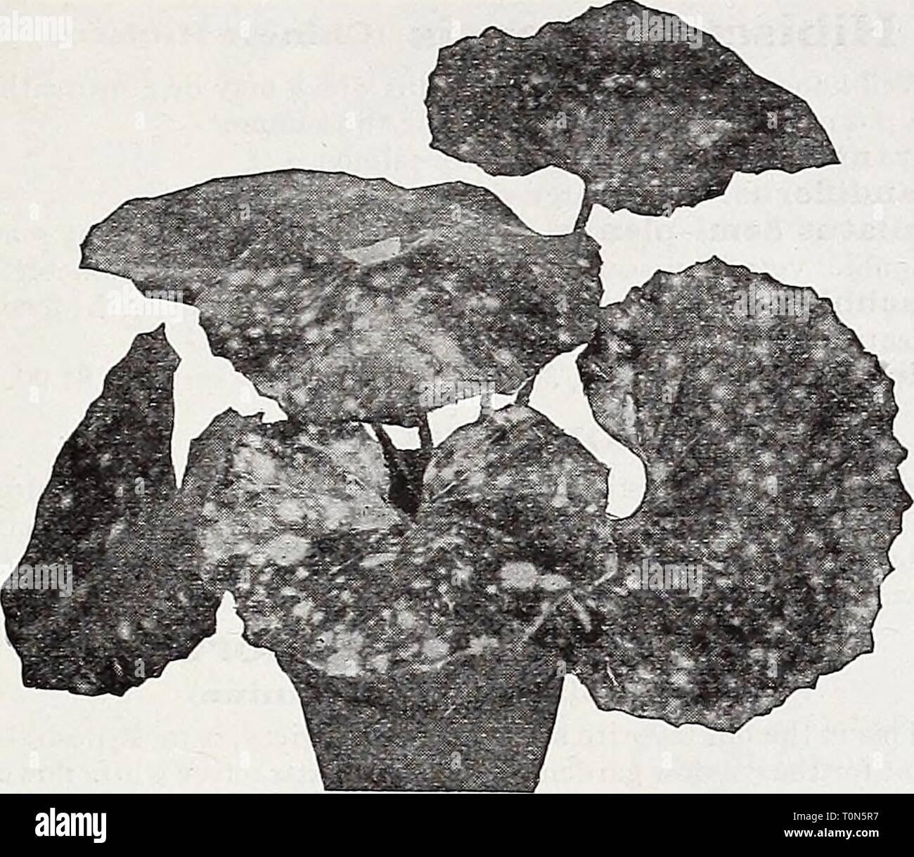 Catalogue automne 1932 l'Dreer (1932) Dreer catalogue automne 1932 l'dreersautumncata1932henr Année: 1932 GARDEN''-' les plantes de serre, HMDELPSMI ^23 Farfugium Grande Dracaenas décoratif fragrans. Une excellente plante d'intérieur, avec une large feuillage vert foncé, se développe dans des conditions ad- verse. Les plantes en pot de 3 pouces, 35 cts. chacun; 4 pots, 60 cts. chacun; 5 pots, 1 $ chacune. Godseffiana. Différent de tous les autres Drac- aenas; d'habitude formant avec branches com- pact, gracieux spécimens. Son feuillage est de texture solide; riche, couleur vert foncé avec des taches de forte densité marquée blanc crème. Banque D'Images