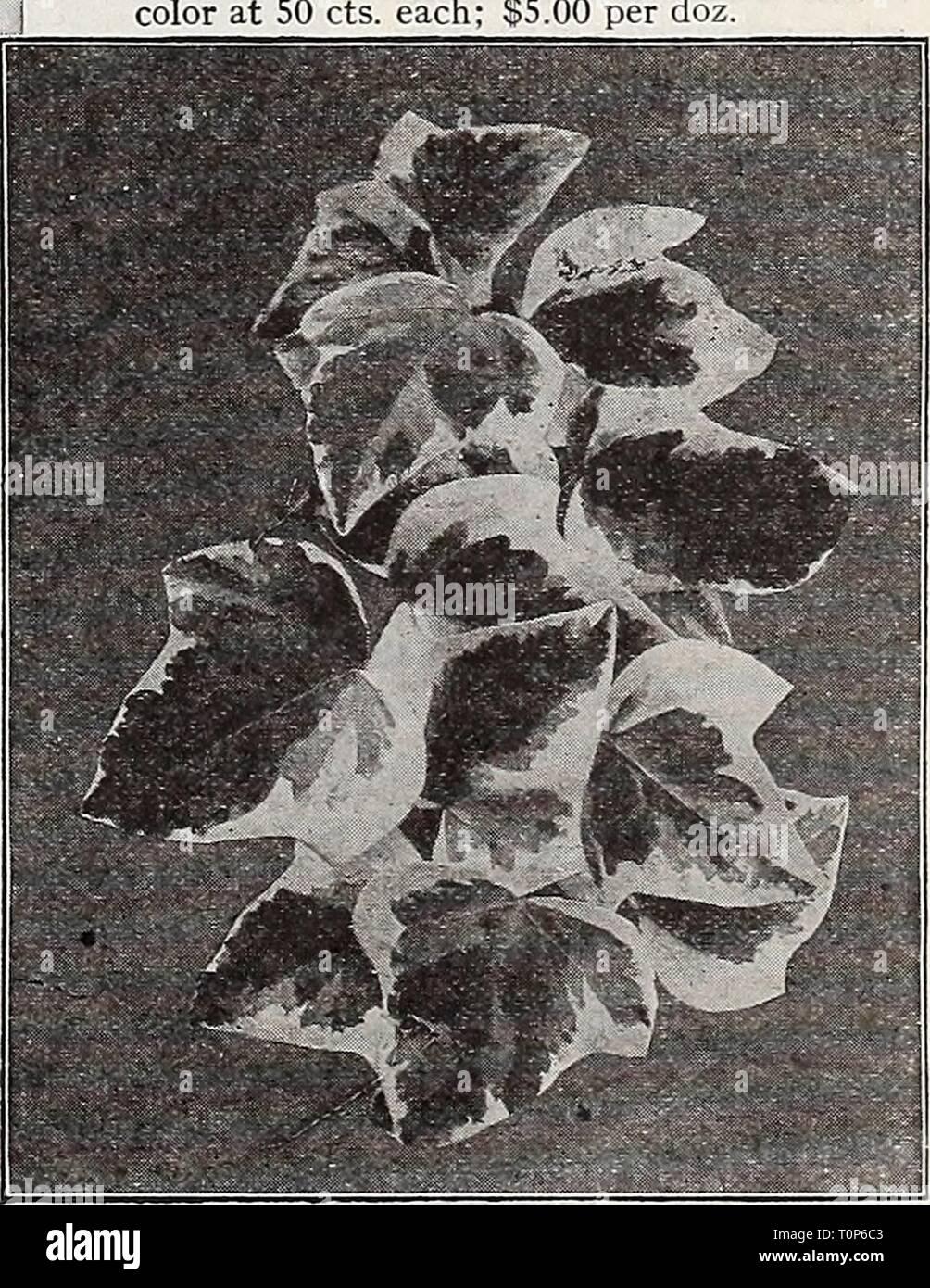 Dreer catalogue automne du (1933) l'dreersautumncata Dreer catalogue automne1933henr Année: 1933 Euphorbia splendens (couronne d'Épines) Dracaenas décoratif fragrans. Une excellente plante d'intérieur, avec une large feuillage vert foncé, se développe dans des conditions ad- verse. Les plantes en pot de 3 pouces, 35 cts. chacun; 4 pots, 60 cts. chacun; 5 pots, 1 $ chacune. Godseffiana. Différent de tous les autres Drac- aenas; d'habitude formant avec branches com- pact, gracieux spécimens. Son feuillage est de texture solide; riche, couleur vert foncé avec des taches de forte densité marquée blanc crème. 3 pots, 50 cts. chaque. Massangean Banque D'Images