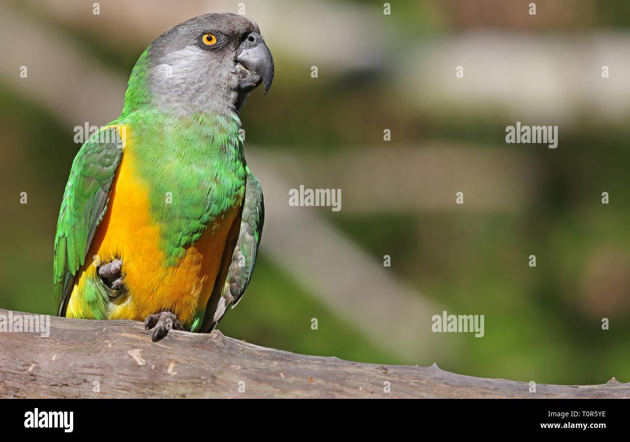 Vue rapprochée d'un perroquet du Sénégal (Poicephalus senegalus) Banque D'Images