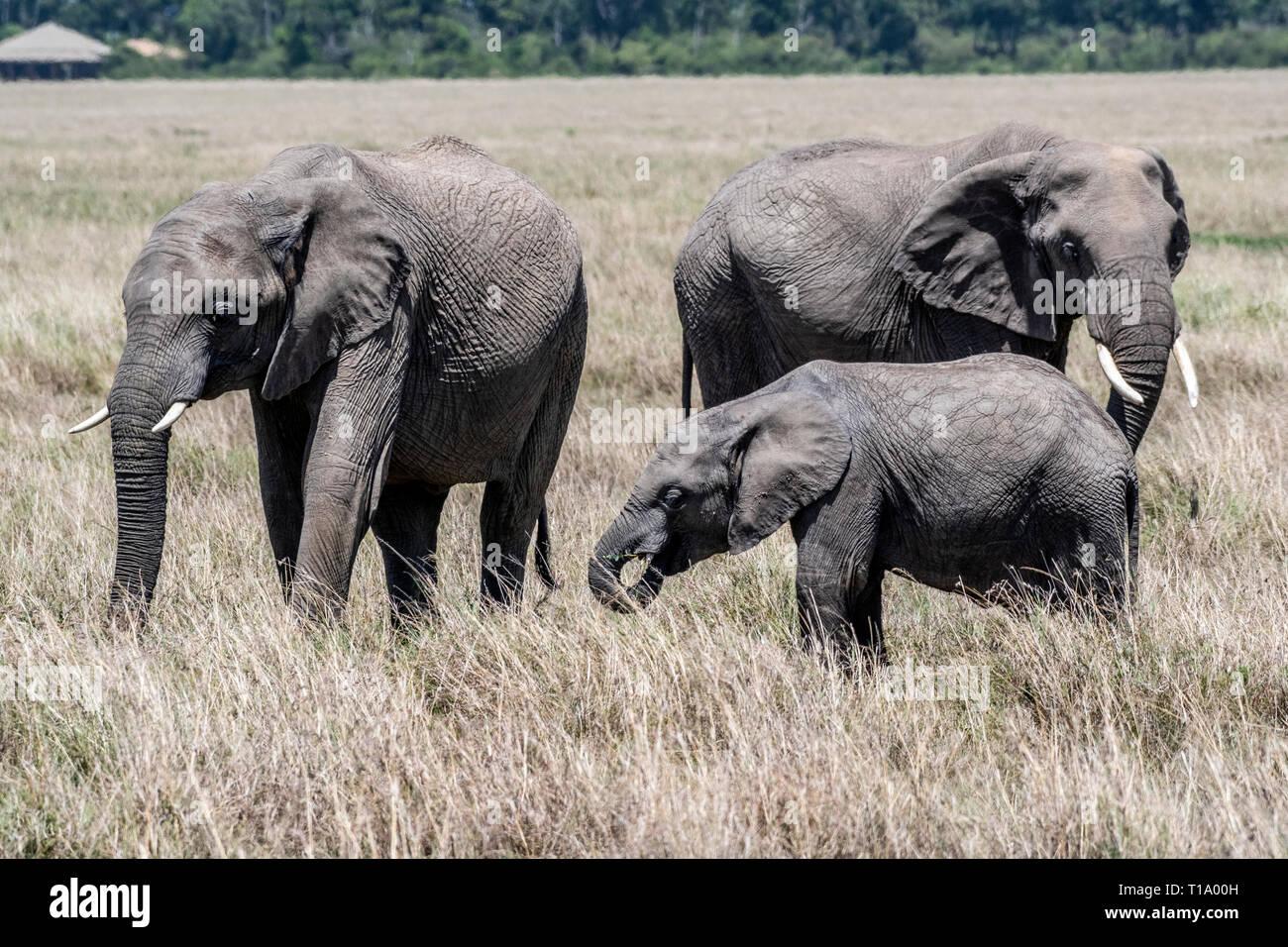 L'alimentation de la famille d'éléphants d'Afrique de l'herbe sèche en Maasai Mara Banque D'Images