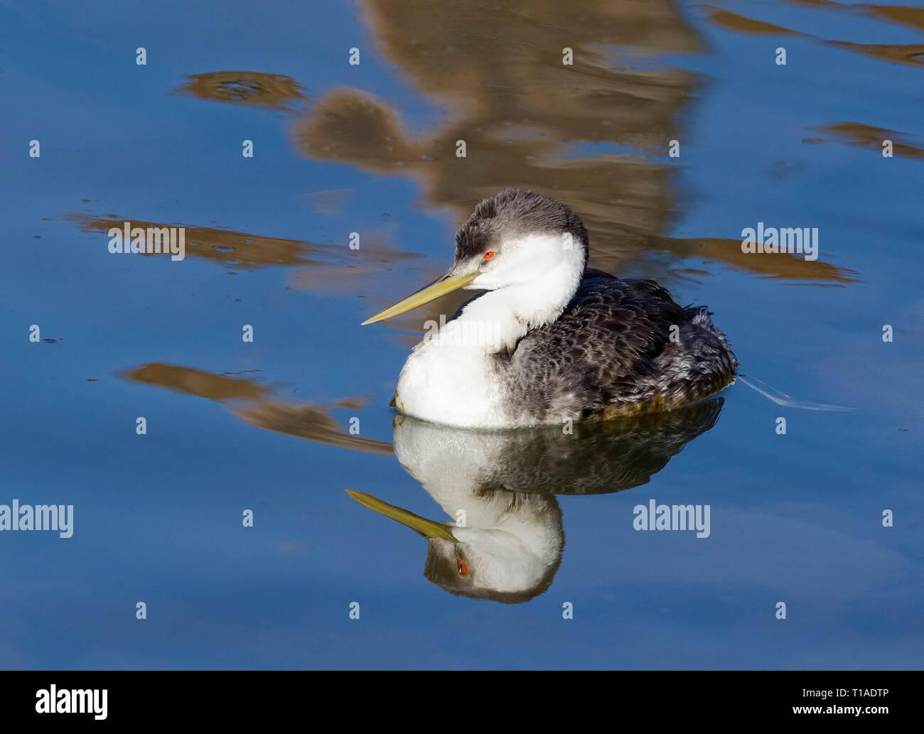 Grèbe élégant dans l'eau bleu toujours parfait reflet Photo Stock