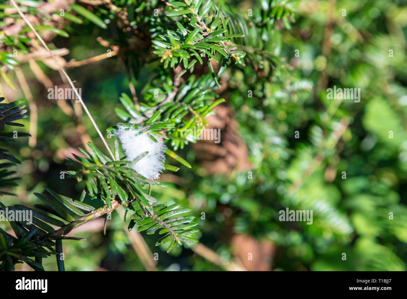 Une plume d'oiseau blanc duveteux des bâtons pour les aiguilles d'une haie d'If dans un chalet jardin dans le Kent, UK Photo Stock