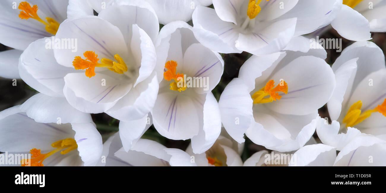 Blooming crocus blancs. Oregon Photo Stock