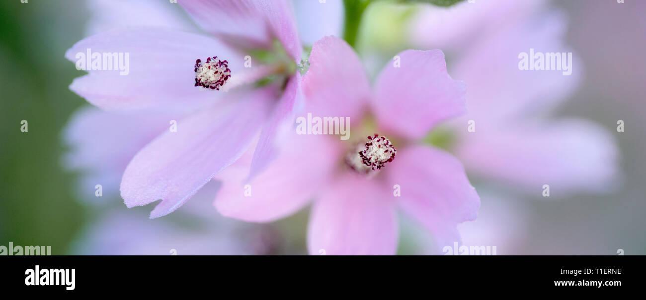 Close up of Checker Mallow (Sidalcea organa). Graham Oaks parcs-nature. Oregon Photo Stock