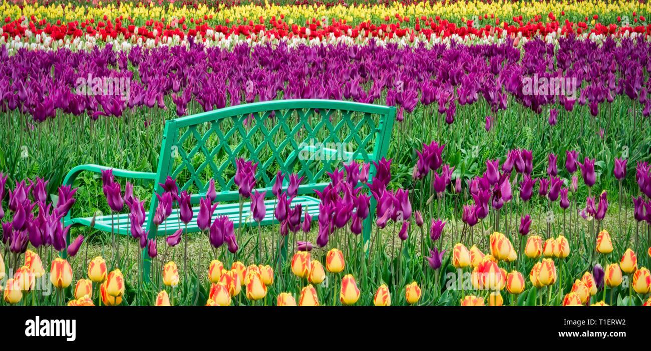Banc dans champ de tulipes. Chaussures en bois Tulip Farm. Woodburn, Oregon Photo Stock