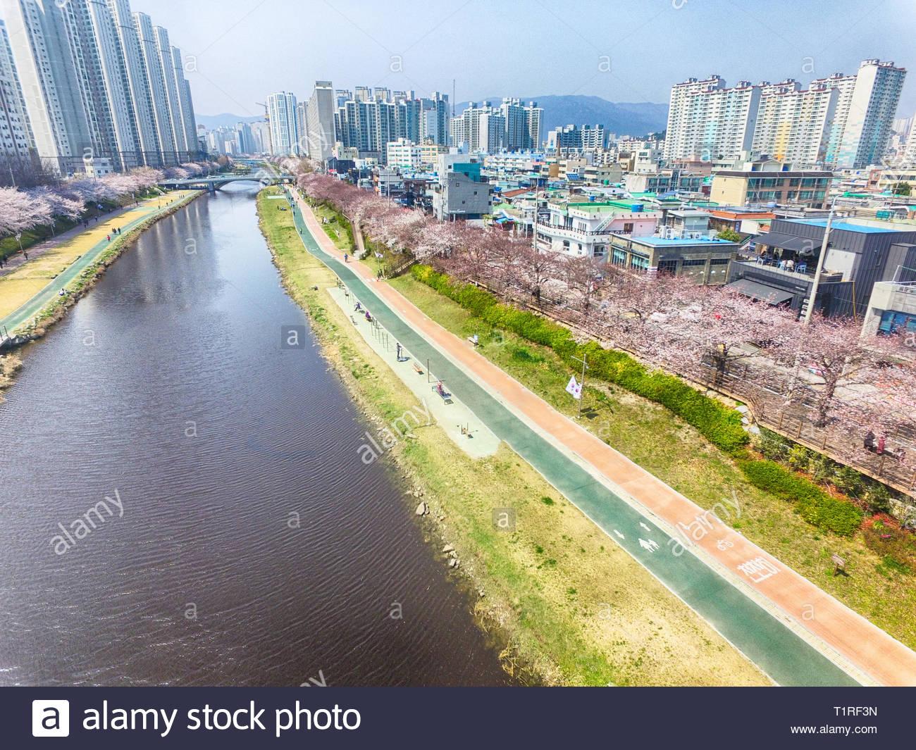 Les fleurs de cerisier fleurissent dans Oncheoncheon Citizens Park , Busan, Corée du Sud, Asie Banque D'Images