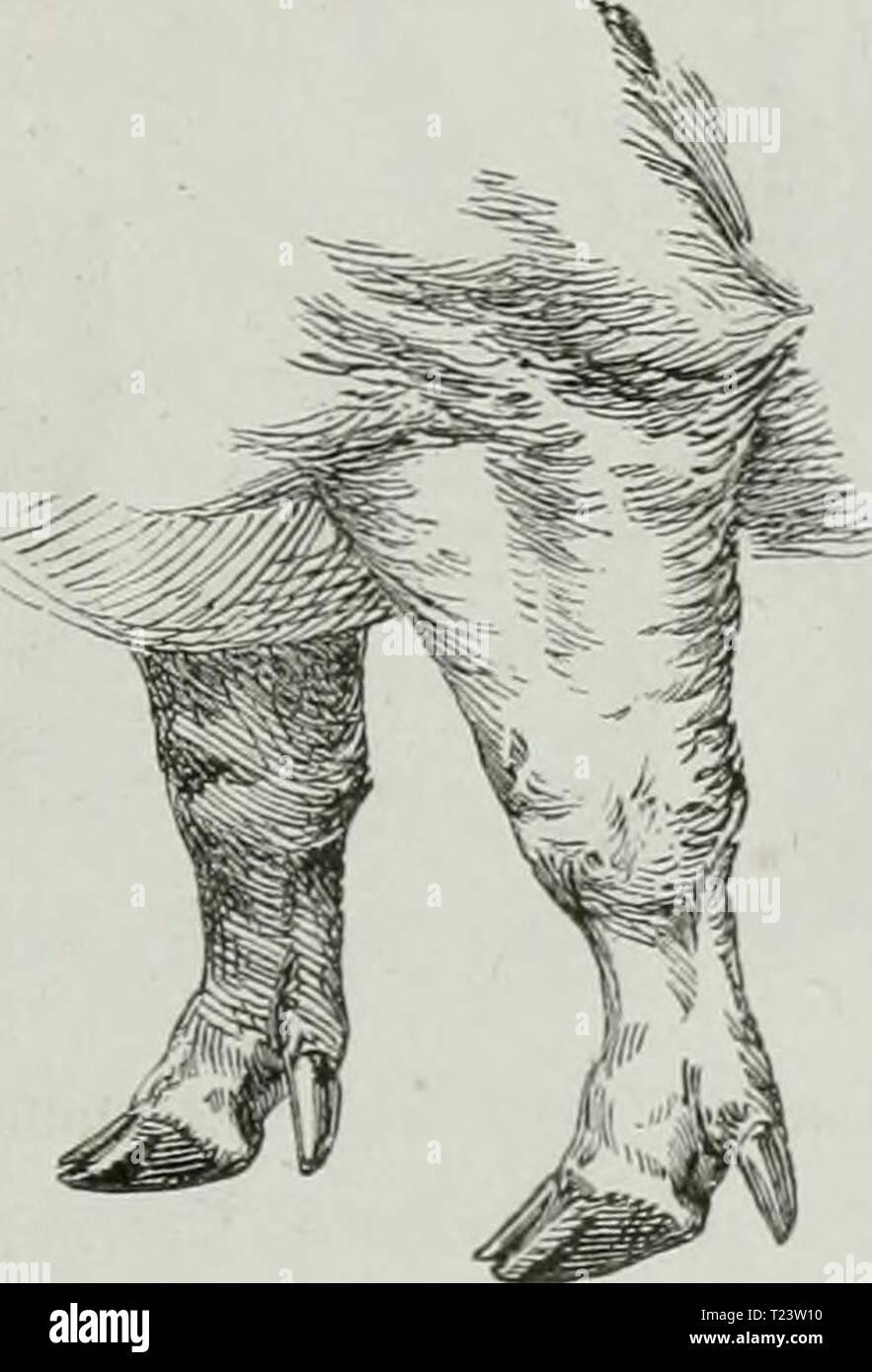 Image d'archive à partir de la page 278 de Die Thierzucht Thierzucht (1886) Die diethierzucht settuoft Année: 188600Normale Vorderbeine des Schweines. Wünscht. Dagegen wird die kürzere dieselbe Fessel, wenn nur der Bieg- Banque D'Images