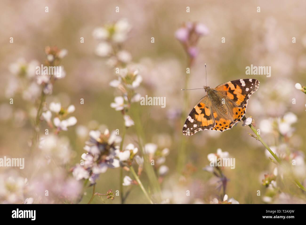 La belle dame (Vanessa cardui) alimentation papillon. Ce papillon se trouve en Europe, en Afrique du nord, et en Asie occidentale. Photographié en Israël, en Marc Banque D'Images