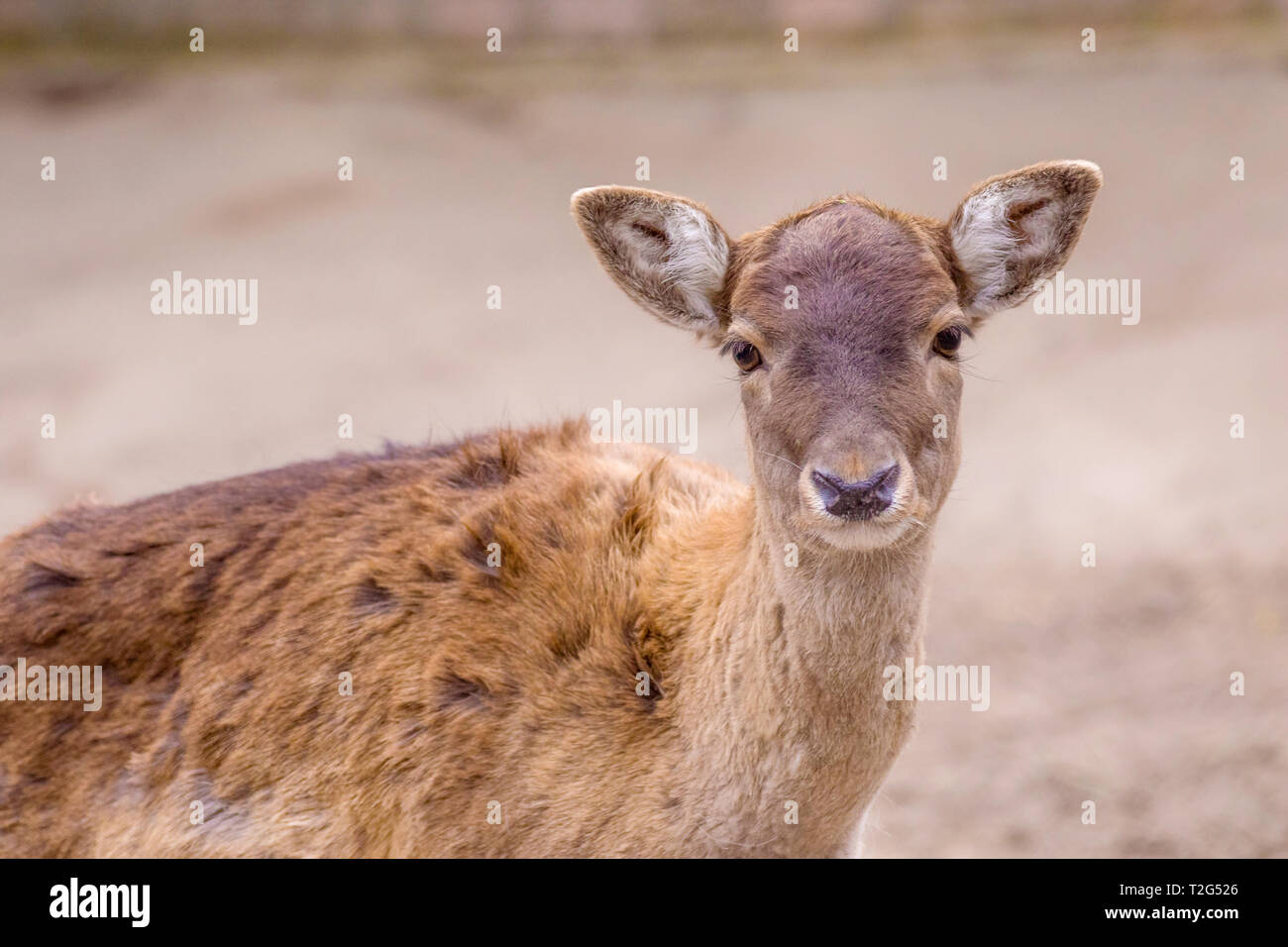 Image artiodactic timide jeune animal chevreuil portrait Photo Stock