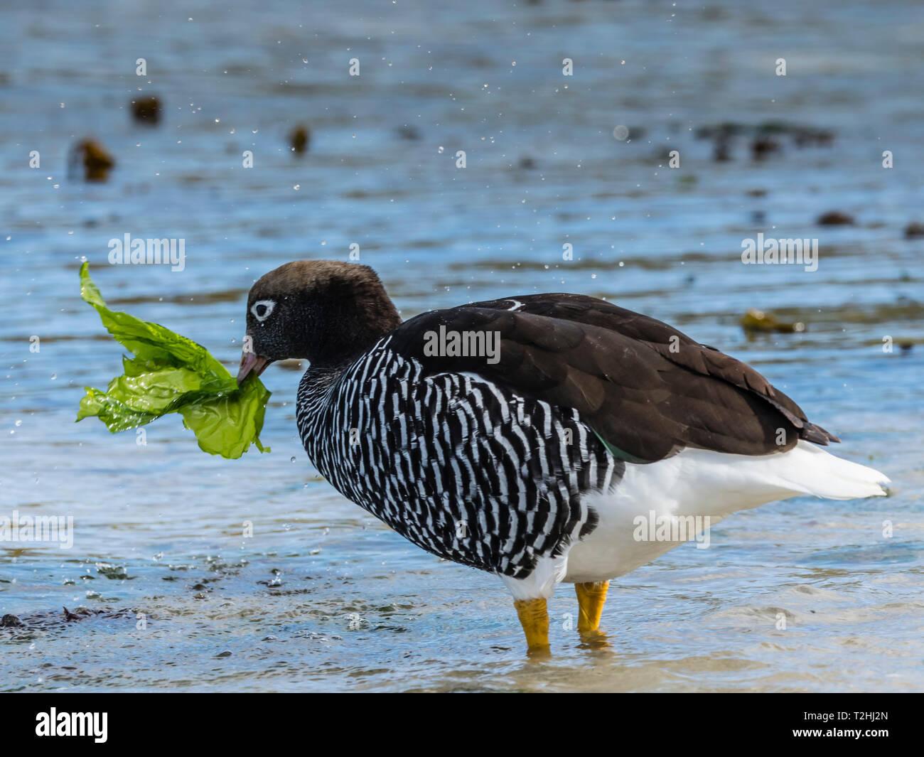 Varech femelles adultes d'oie, Chloephaga hybrida, se nourrissant d'algues à marée basse à West Point Island, Îles Falkland, Océan Atlantique Banque D'Images