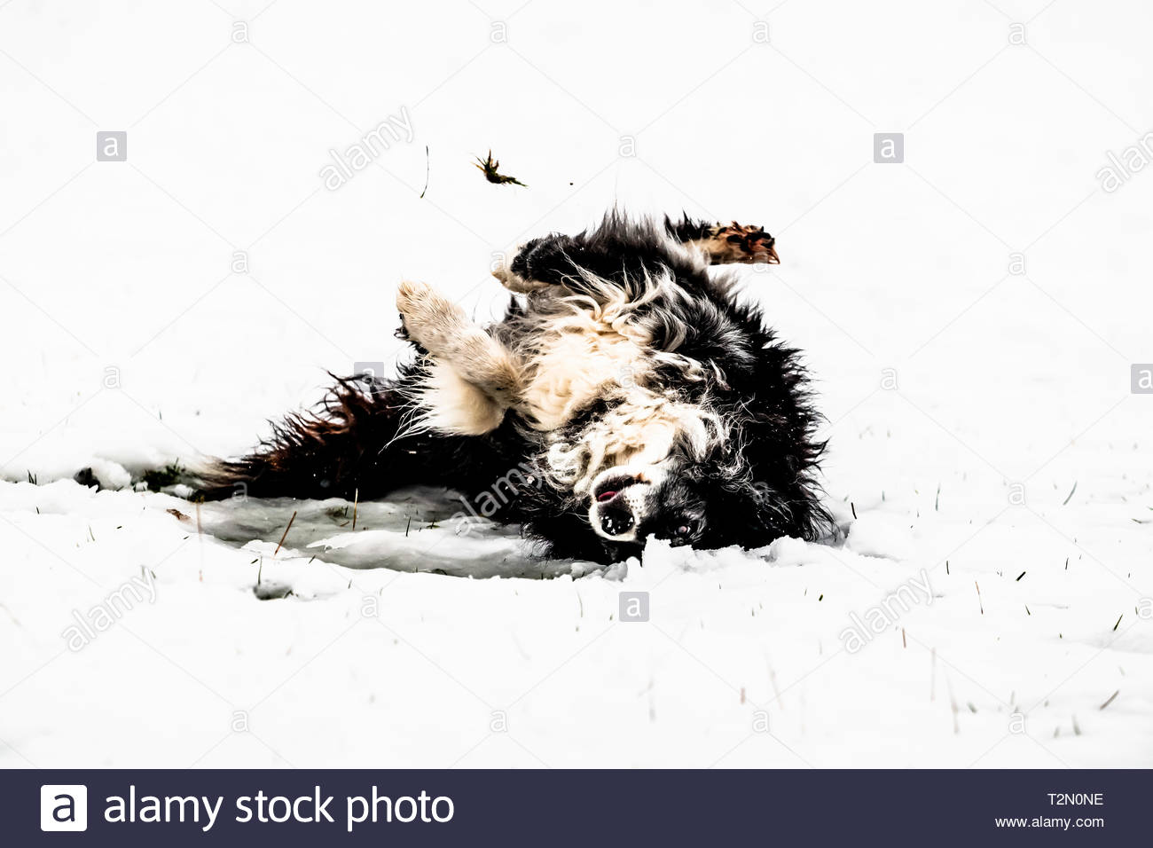 Camptown, Jedburgh, Scottish Borders, au Royaume-Uni. 3 avril 2019. Shepherd Helen Brown donne son collies un rapide tôt le matin à pied entre les lieux d'agnelage à Chatto ferme dans la vallée de Kale dans les contreforts de la Scottish Cheviots. Crédit : Chris Strickland / Alamy Live News Photo Stock