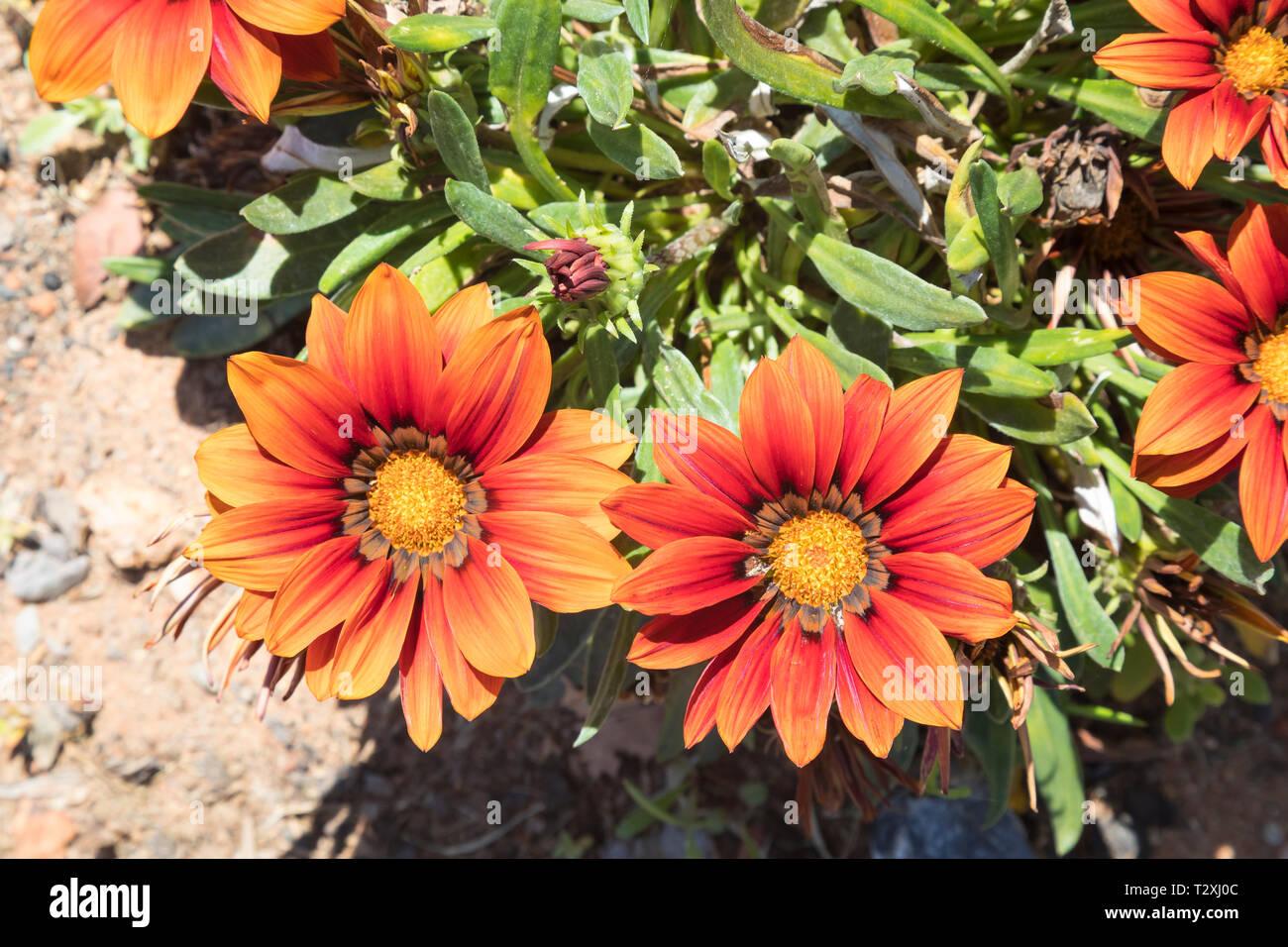 Terre cuite rouge orange profond Gazania Gazania krebsiana